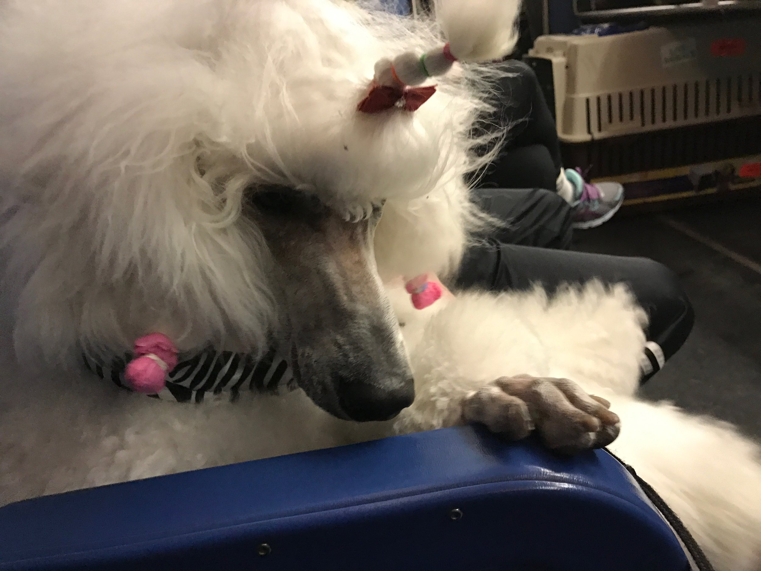 Pretty white Poodle, Pali, waiting patiently at the airport.