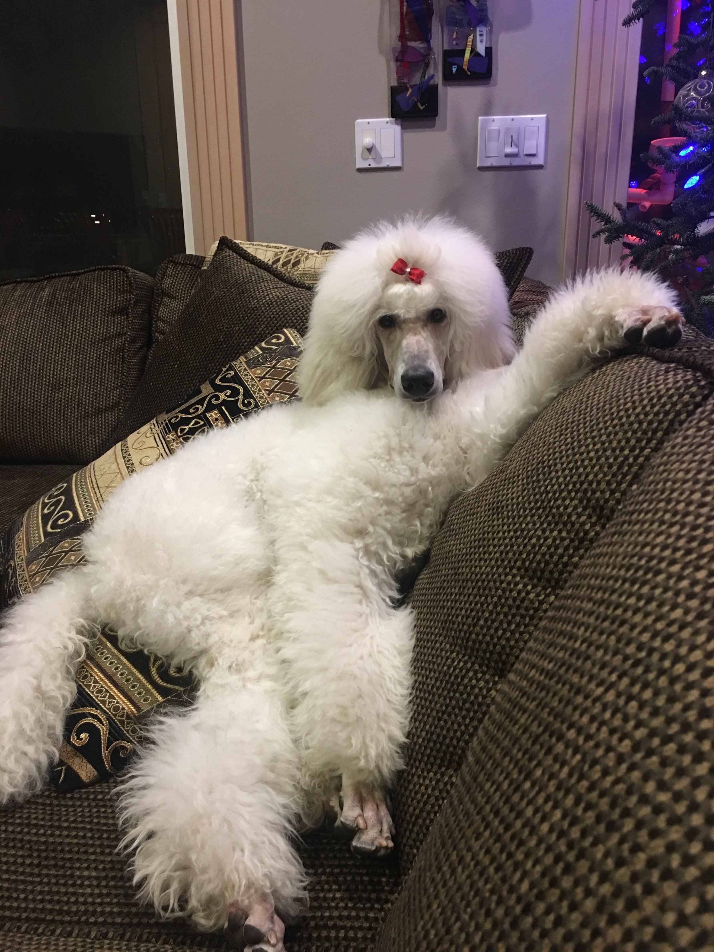 Pali, a white standard poodle puppy, makes herself at home on the couch.