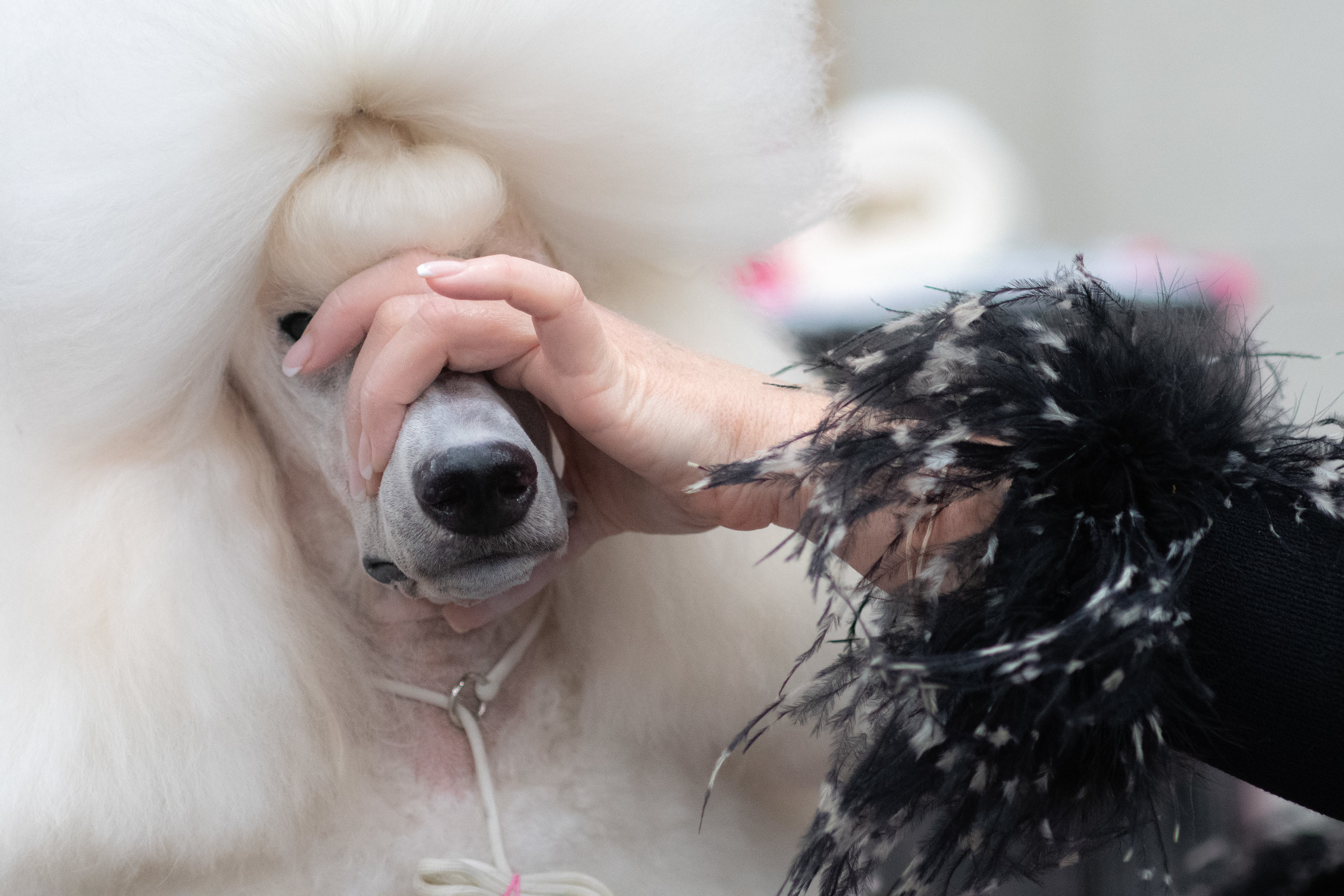 Pali gets ready for her ring debut at the Poodle National Specialty