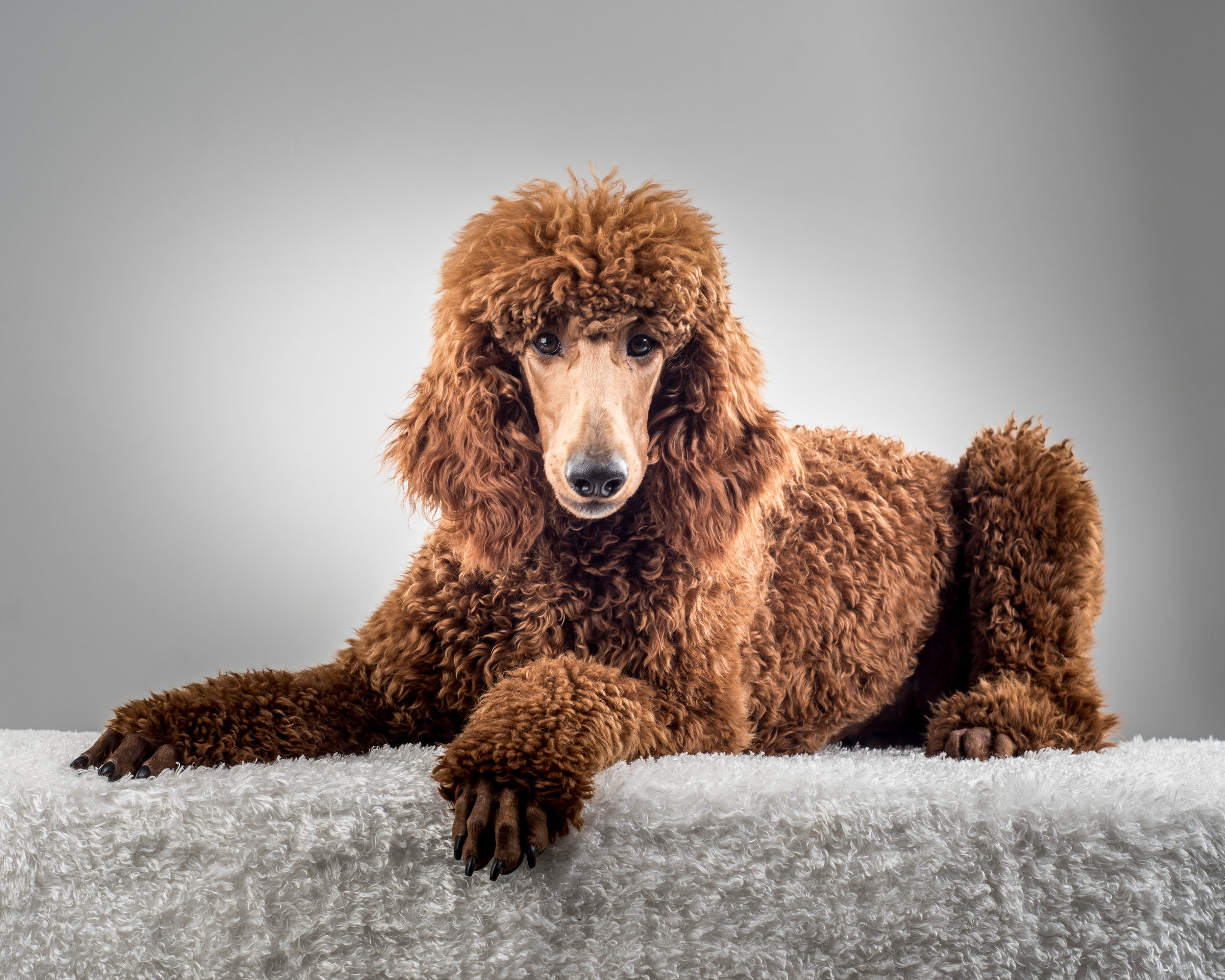A red poodle in the poodle cut commonly referred to as the kennel cut.