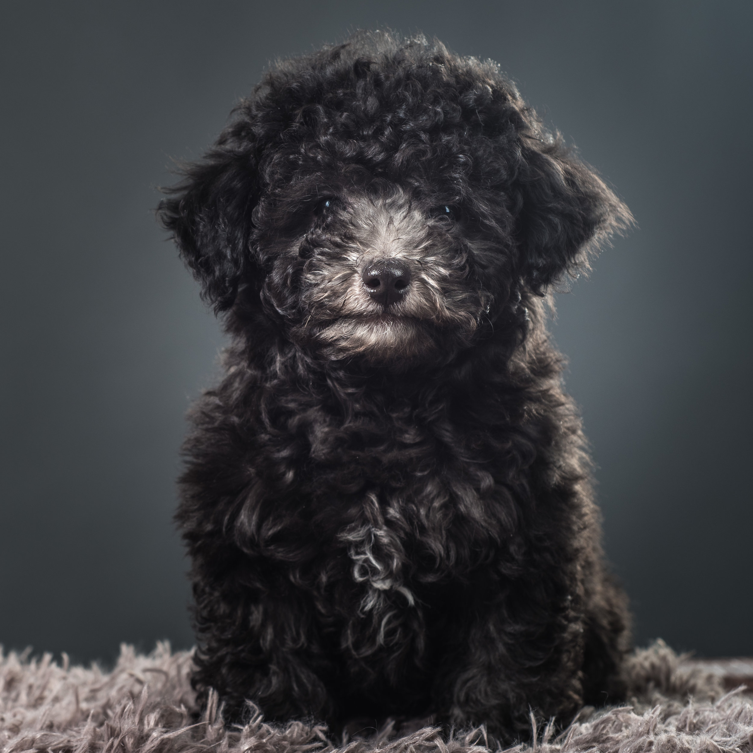 Poodle hair will grow and grow! This is a cute look on this Toy Poodle. But also requires regular brushing and bathing.