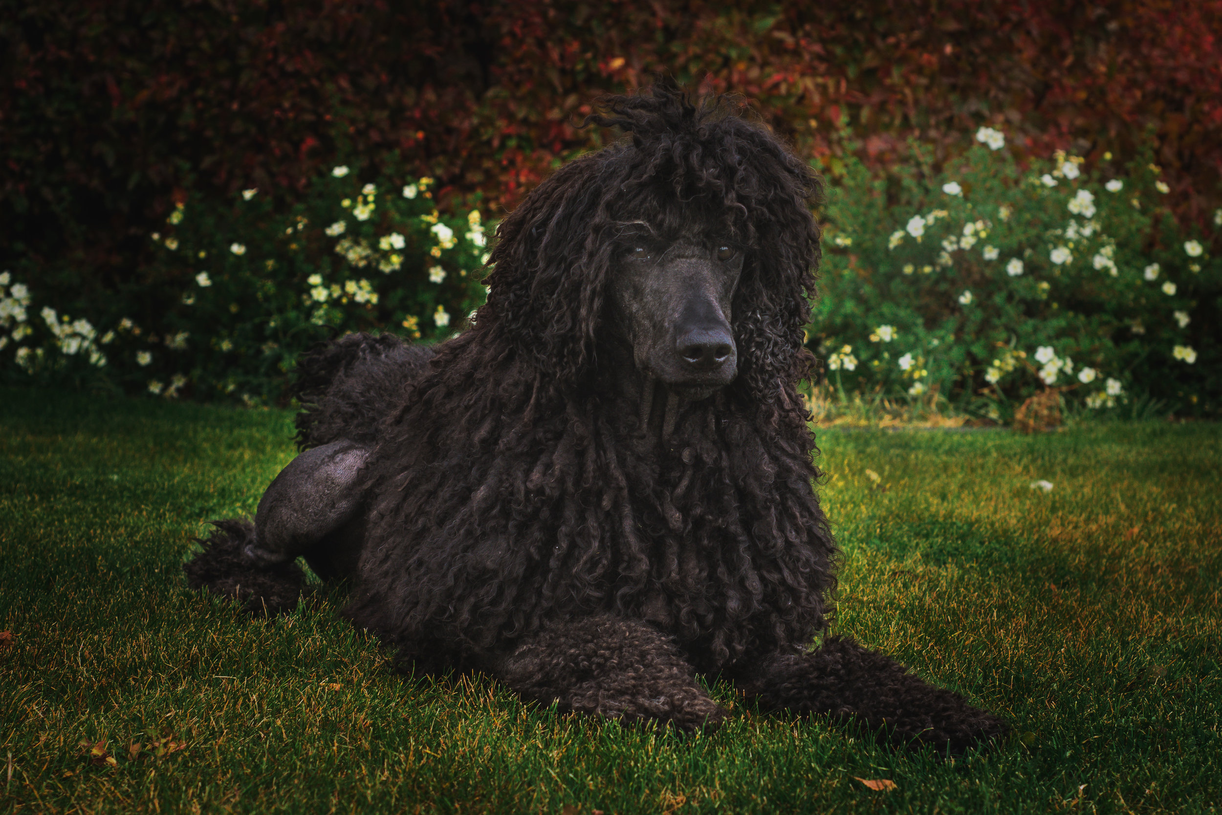 Poodle hair makes for excellent cords. Corded poodles have a unique look, but do require regular upkeep.