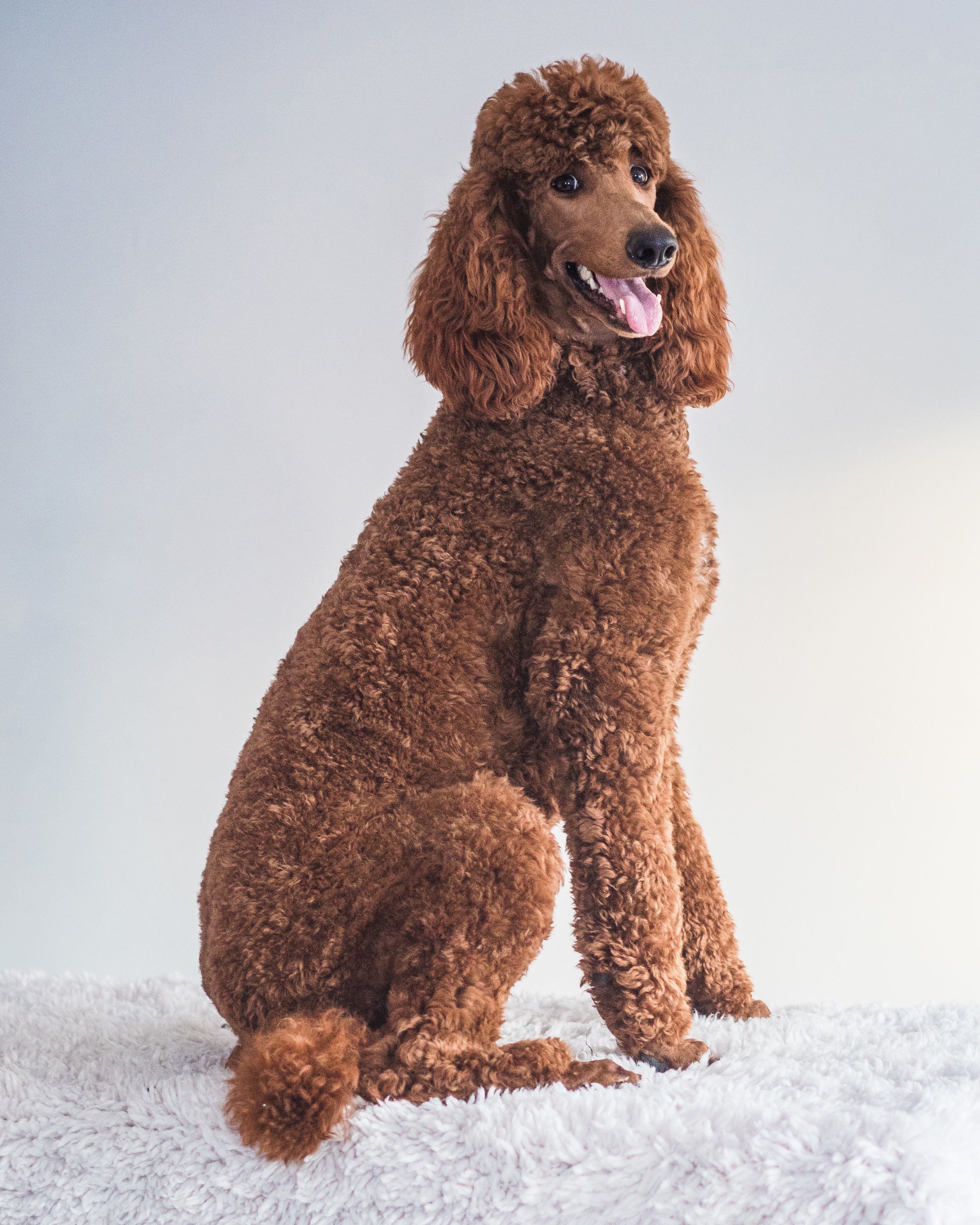 The classic poodle face is usually shaved. But certainly, a shaved face is not required!
