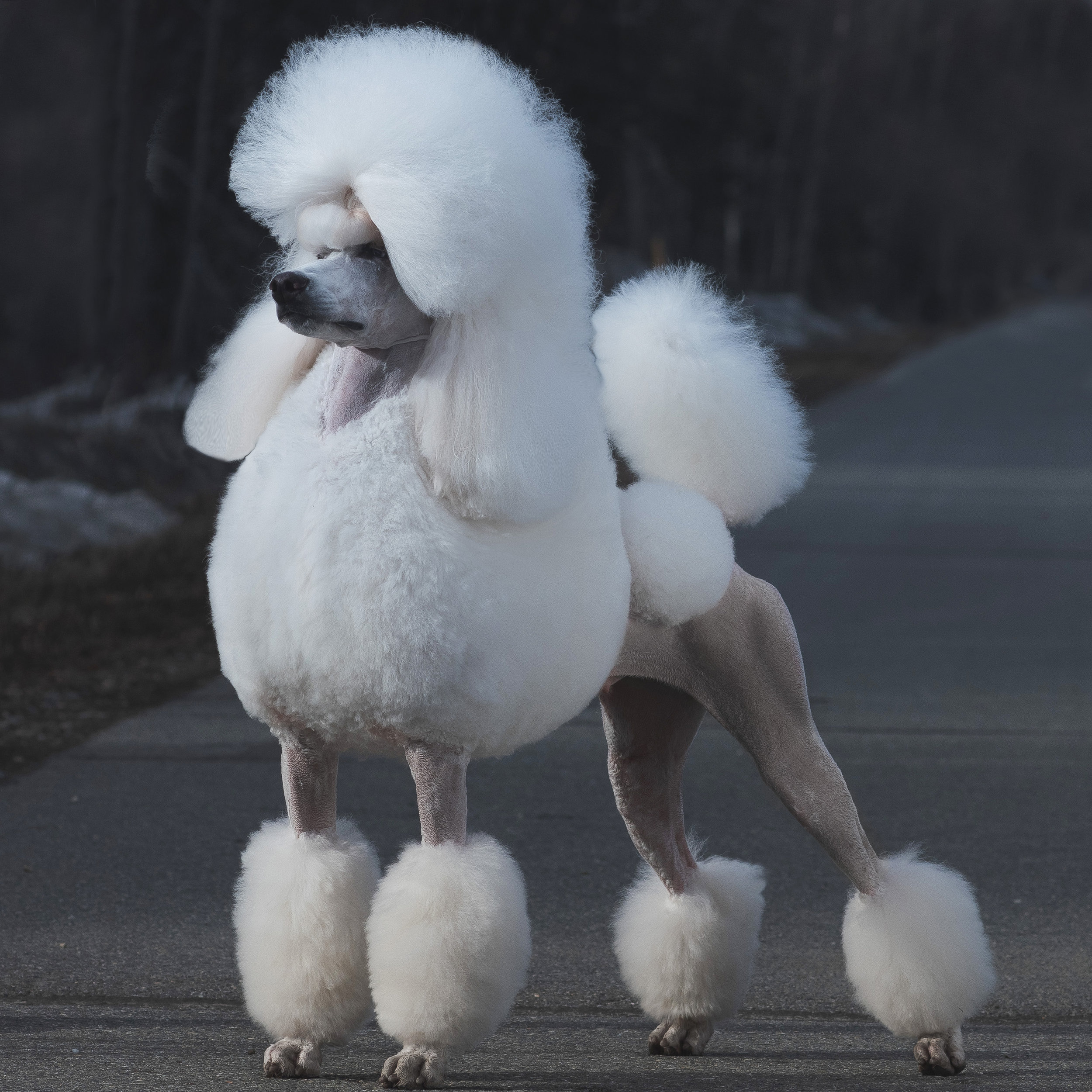 The Continental Cut is the trim most often seen on poodles in the dog show ring.