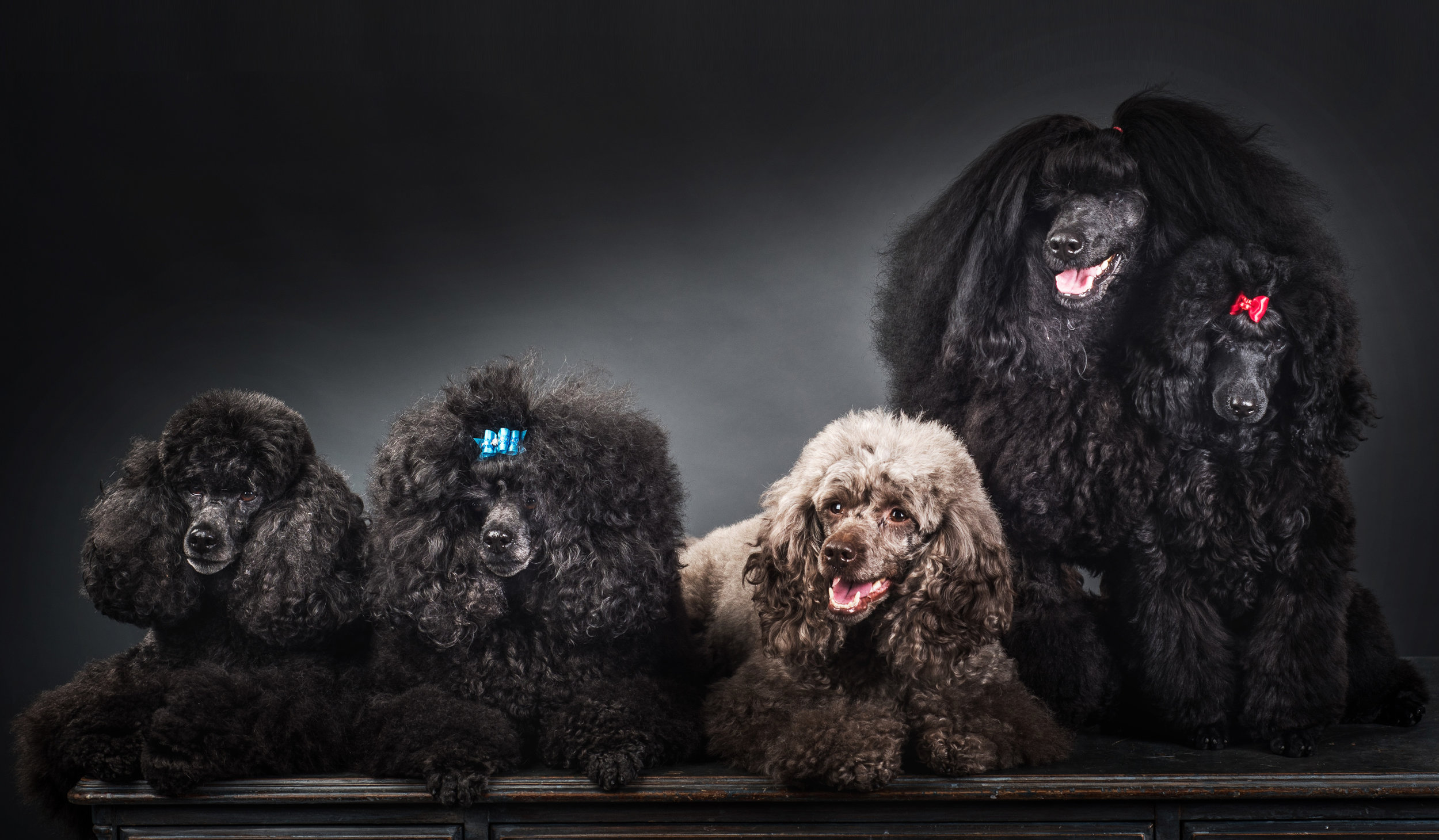 A herd of Miniature Poodles, all in a row!