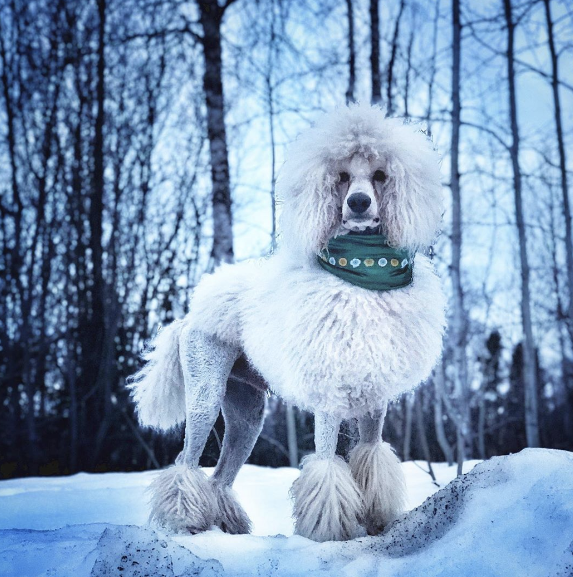A white Standard Poodle in winter.