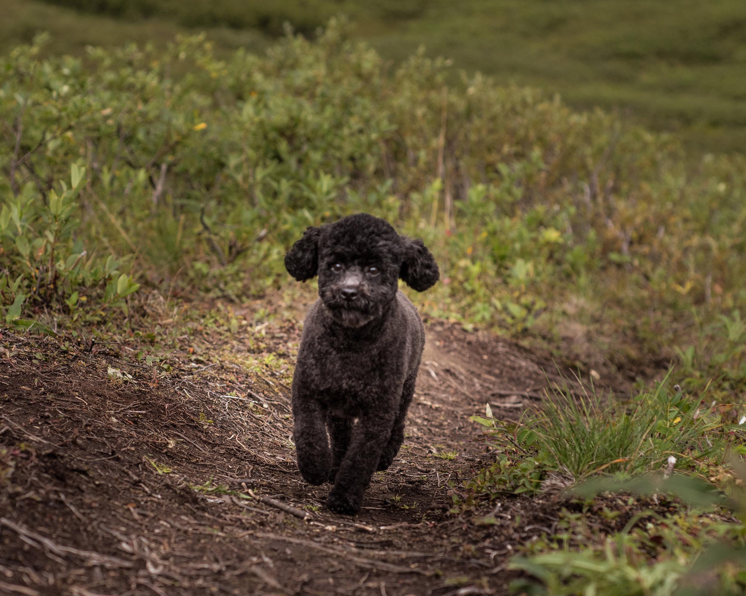 A poodle is a poodle, regardless of size!
