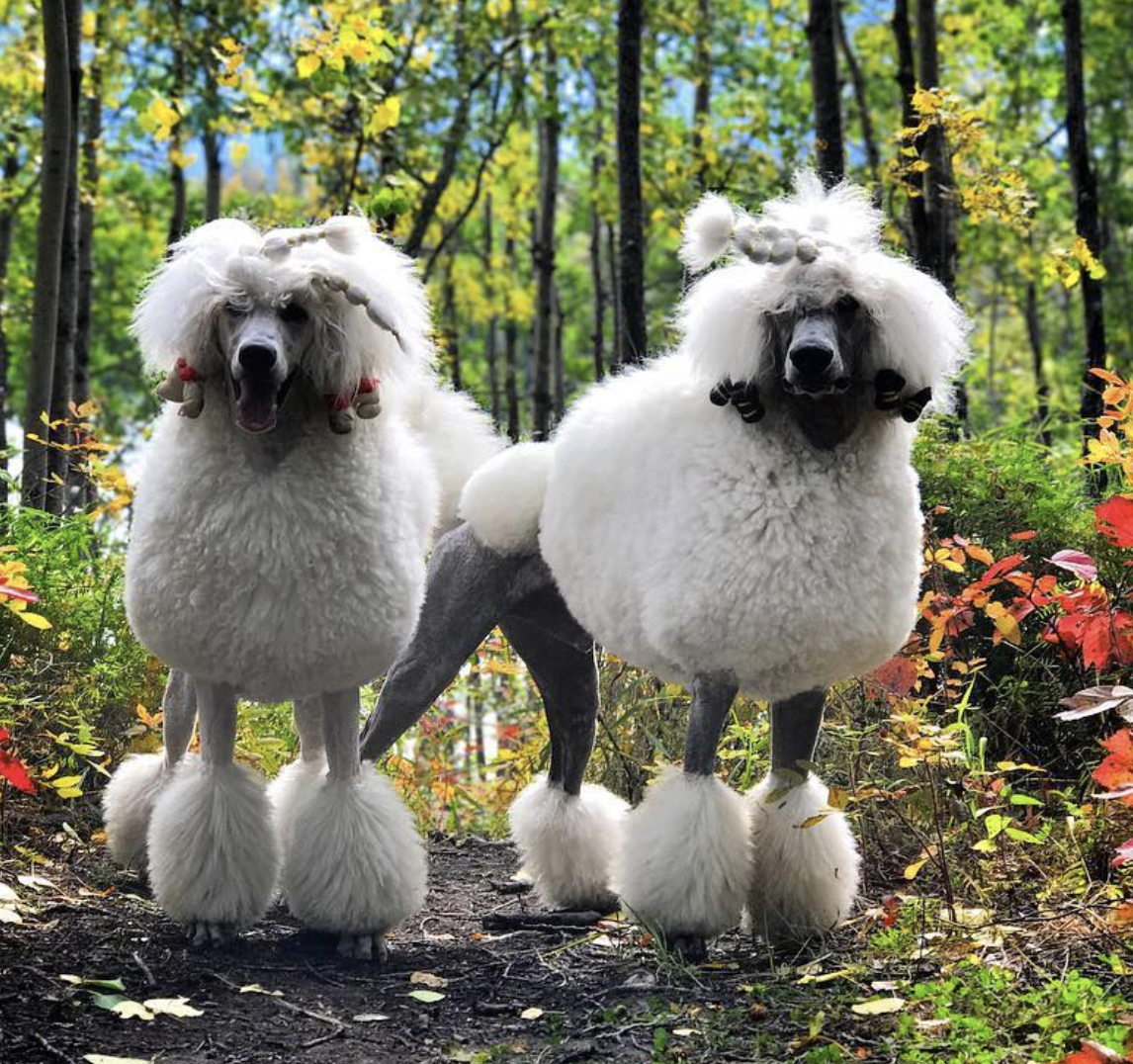 Standard Poodles. A female and a male.