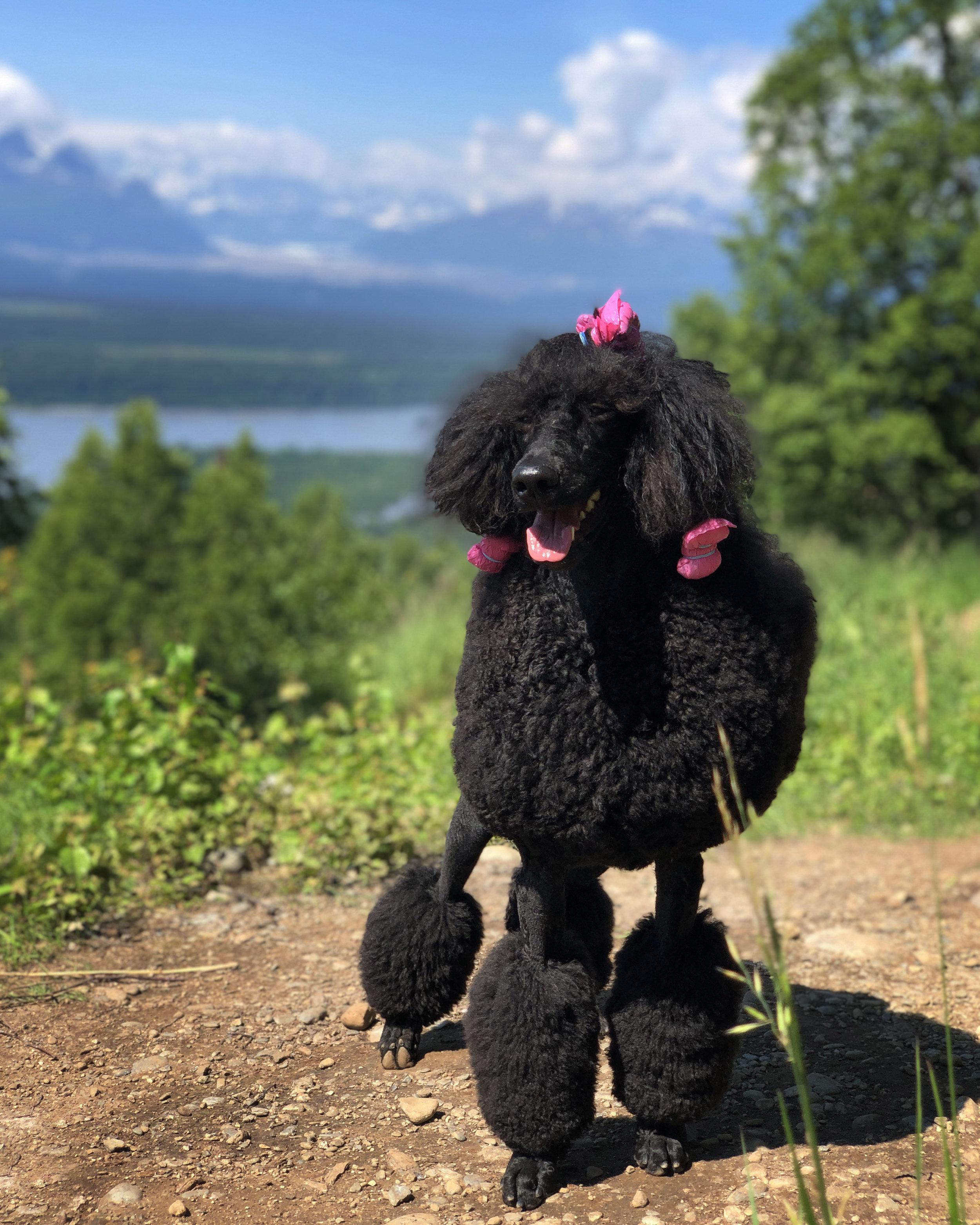 Black standard poodle, Kluane on Kesugi Ridge trail