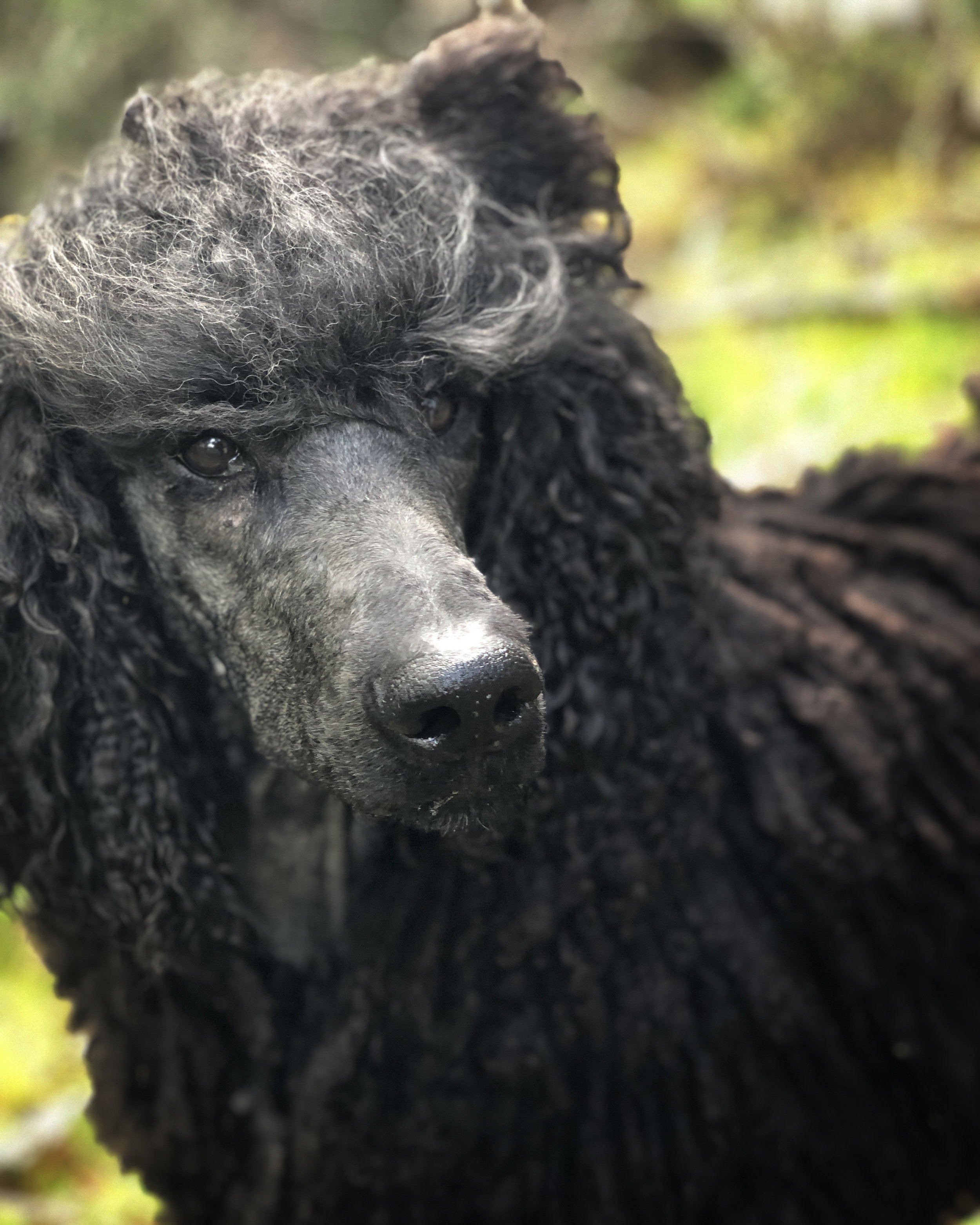 Wallace hanging out outside and showing off his standard poodle corded coat.