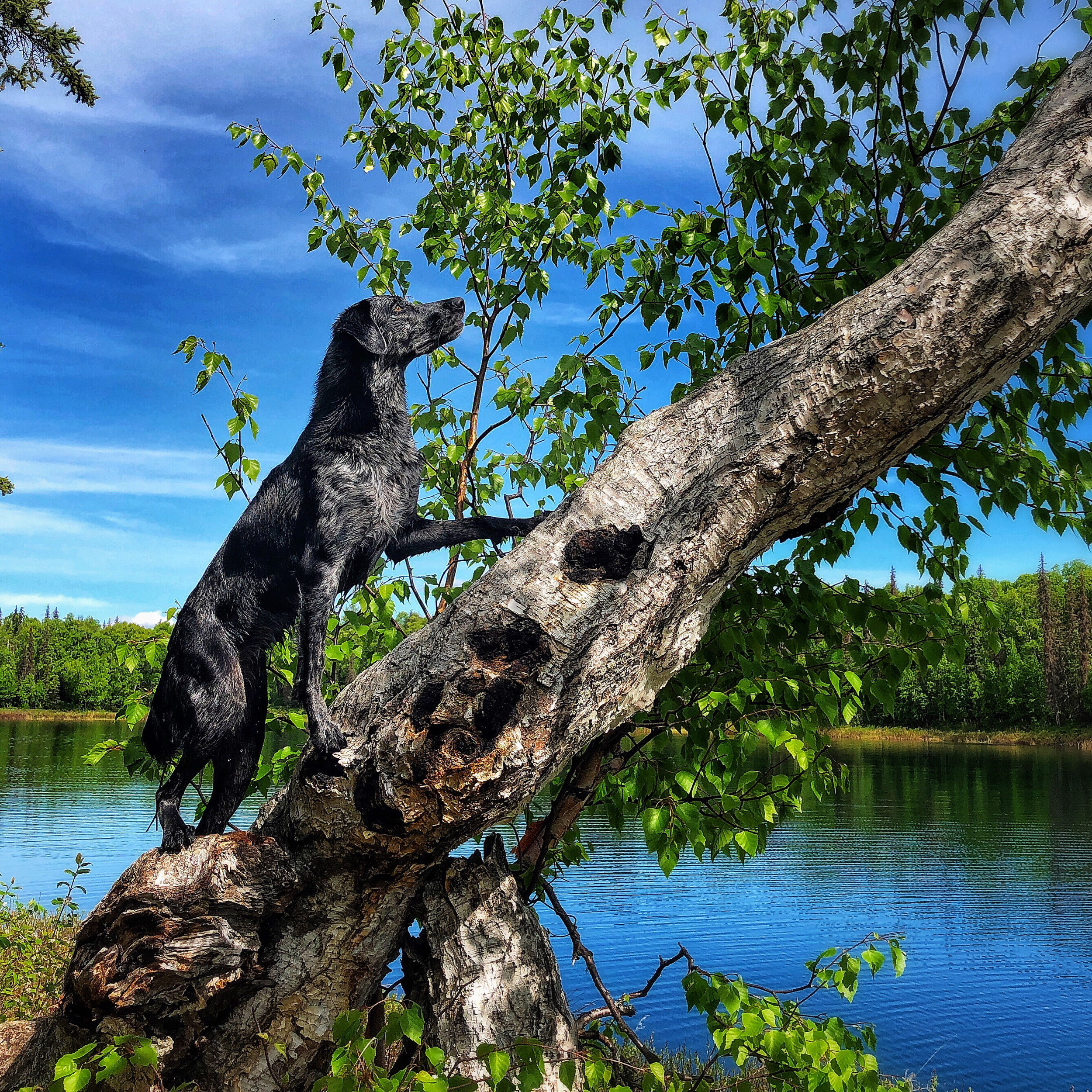 Jupiter the Catahoula Leopard Dog climbed trees in Talkeetna Alaska all summer!