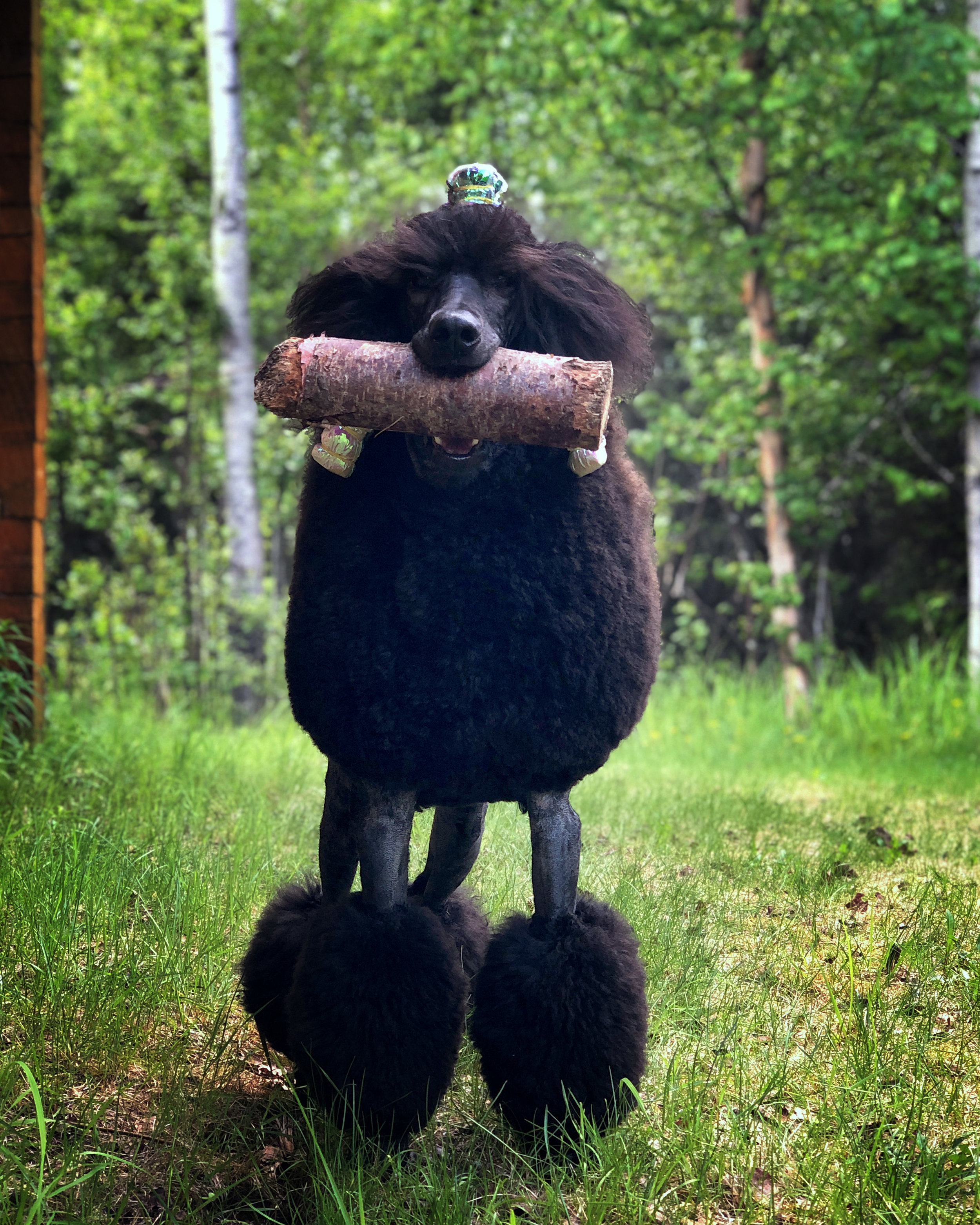 Kluane proved this summer that poodles are STRONG. Kluane carried a log around with her everywhere she went.