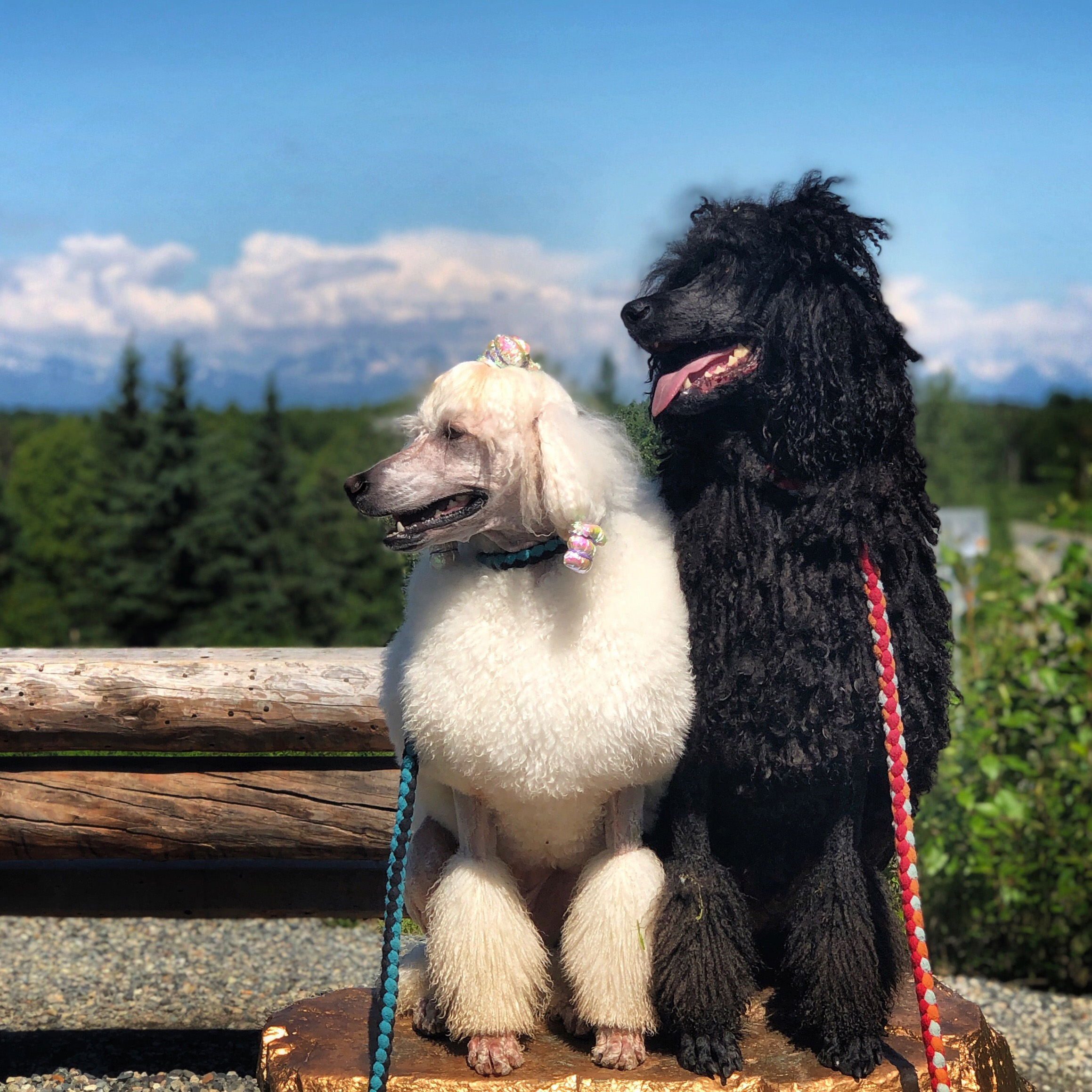 Galavanting Poodles spent nearly every day walking through their new home town of Talkeetna, Alaska.