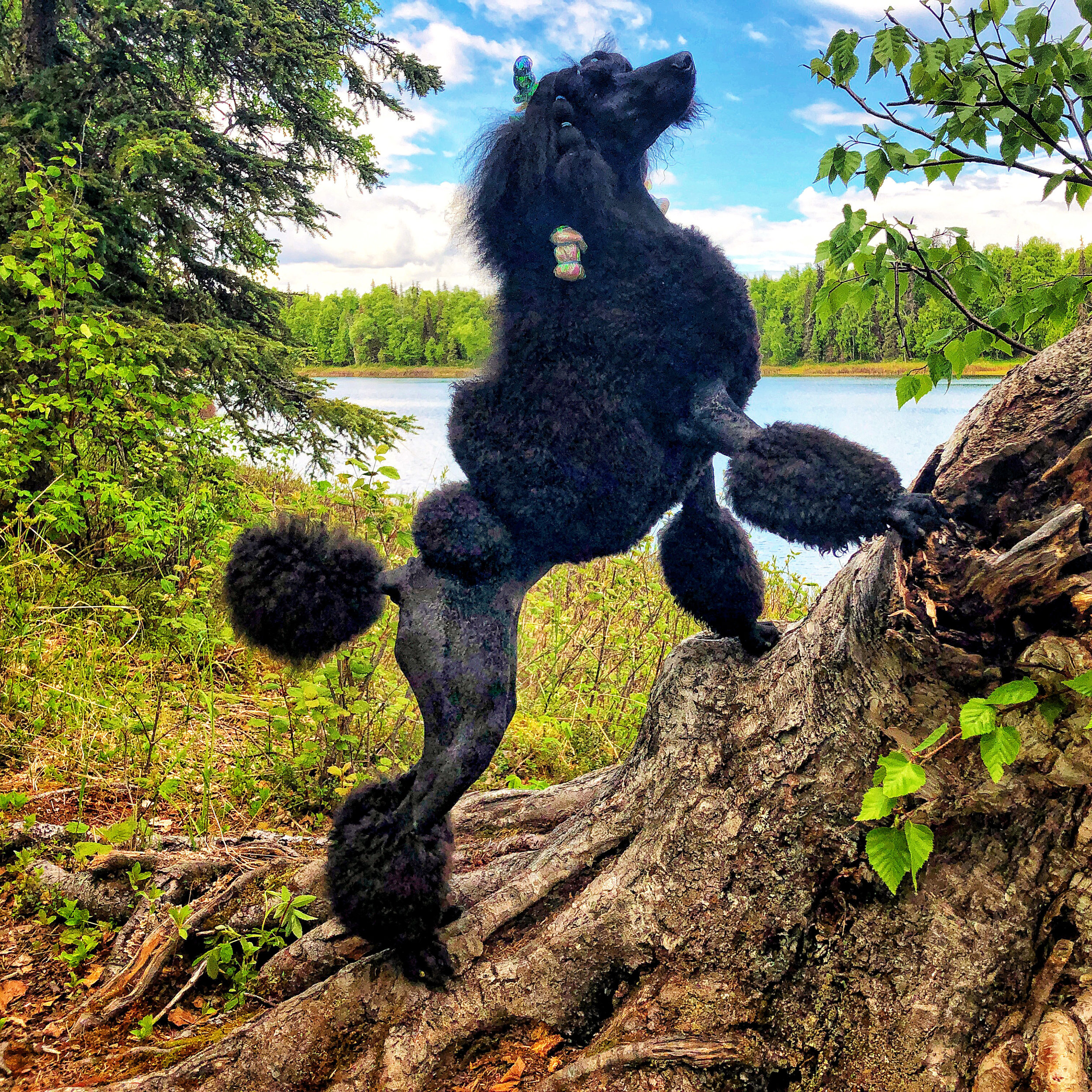 Home to Alaska's Adventure Poodles - In a world where you can be anything… be kind.