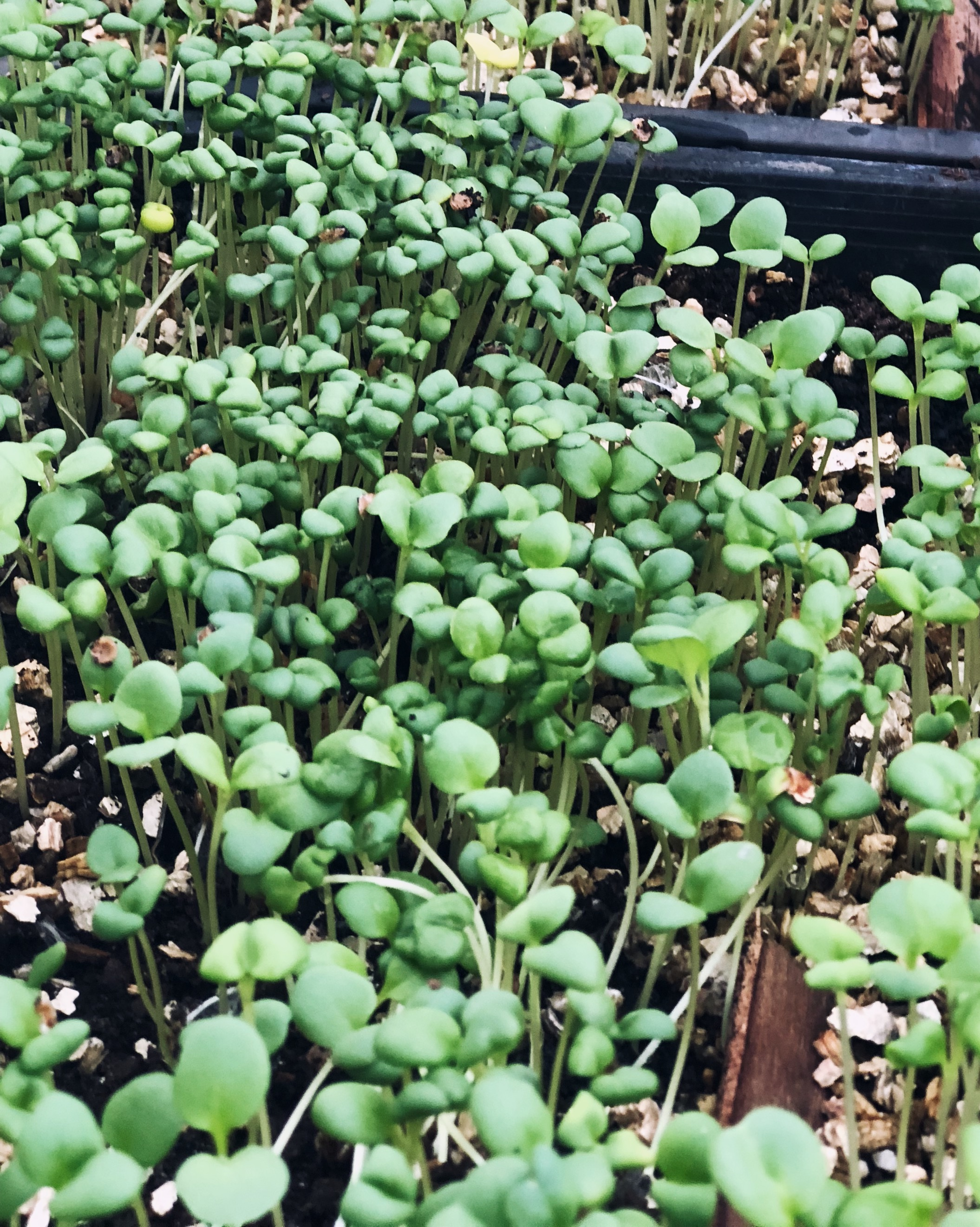 - 6. Once 50-70% of seedlings have emerged, move the tray out of its chamber (plastic box) and put it in a sunny location or simply lift the lid.Move seedlings outside when big enough to handle and harden off for around a week before planting into their final home.