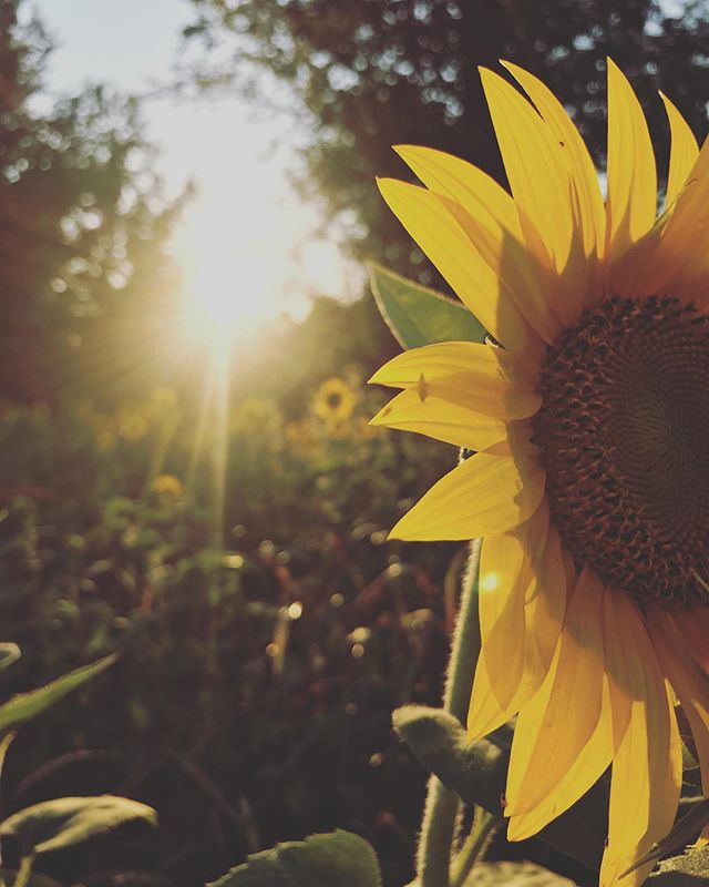 Sunflower mini sessions? Maternity, senior portraits, family, couple/e-session, or just for fun! $90 for 30 minutes. There's more than just sunflowers so we will walk around and get more variety in your album.❤️🌻