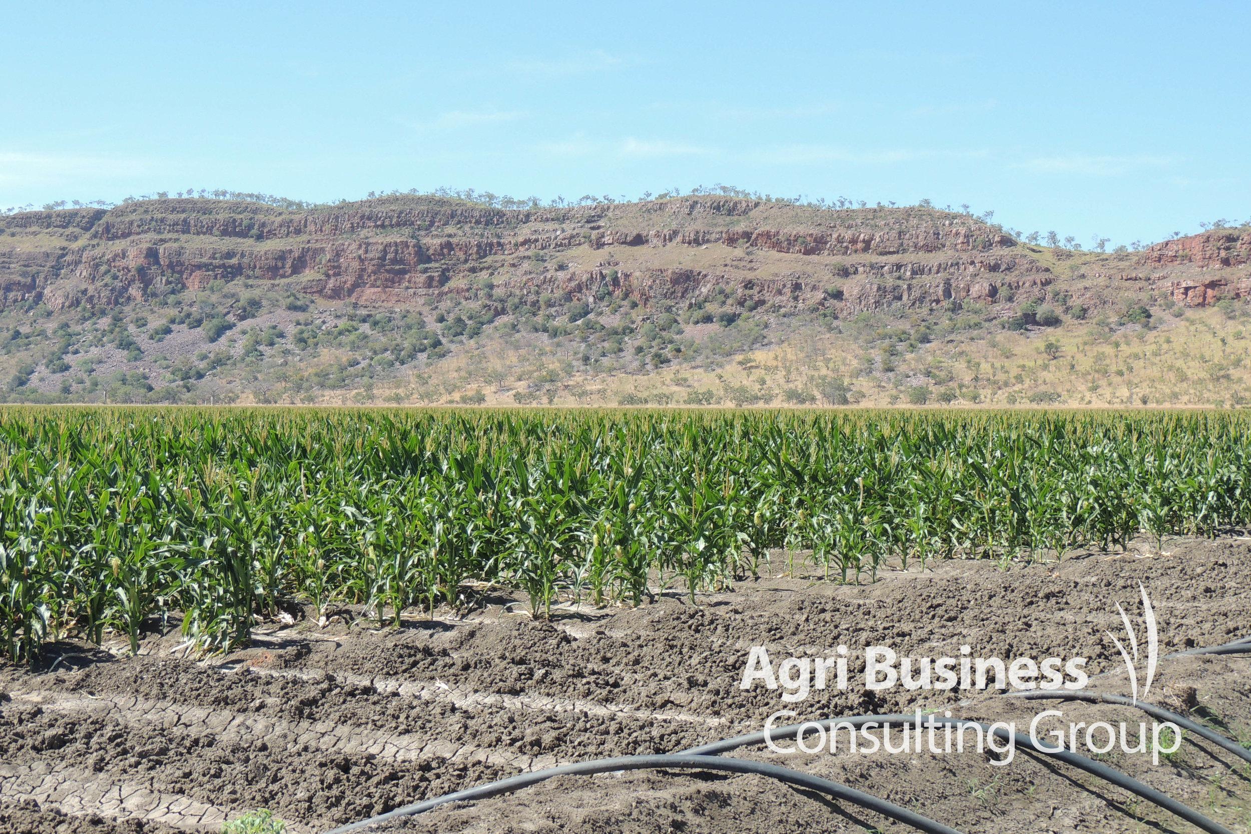 Flood irrigation -  Kununurra, WA
