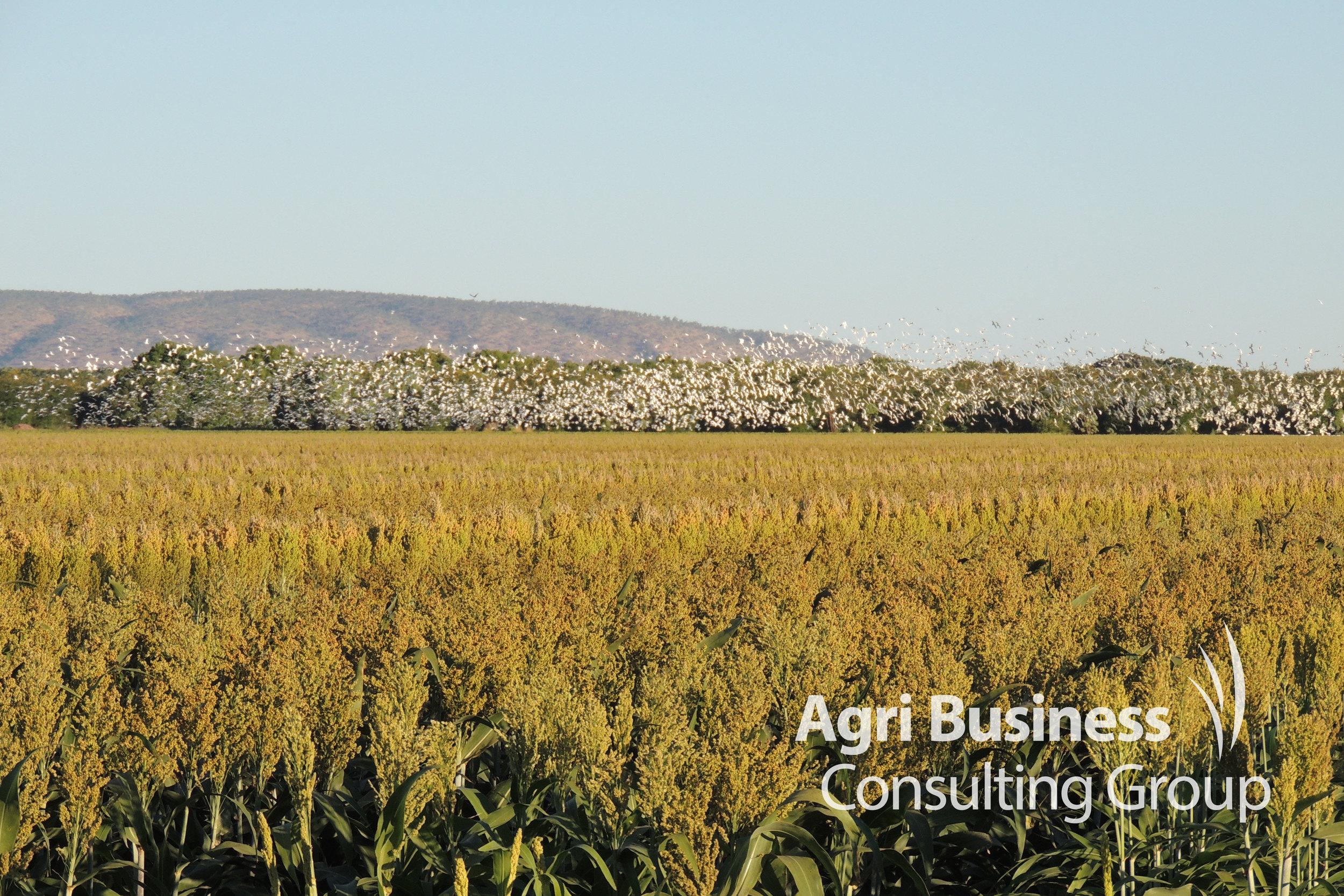 Late afternoon view of a Sorghum field – Kununurra, WA
