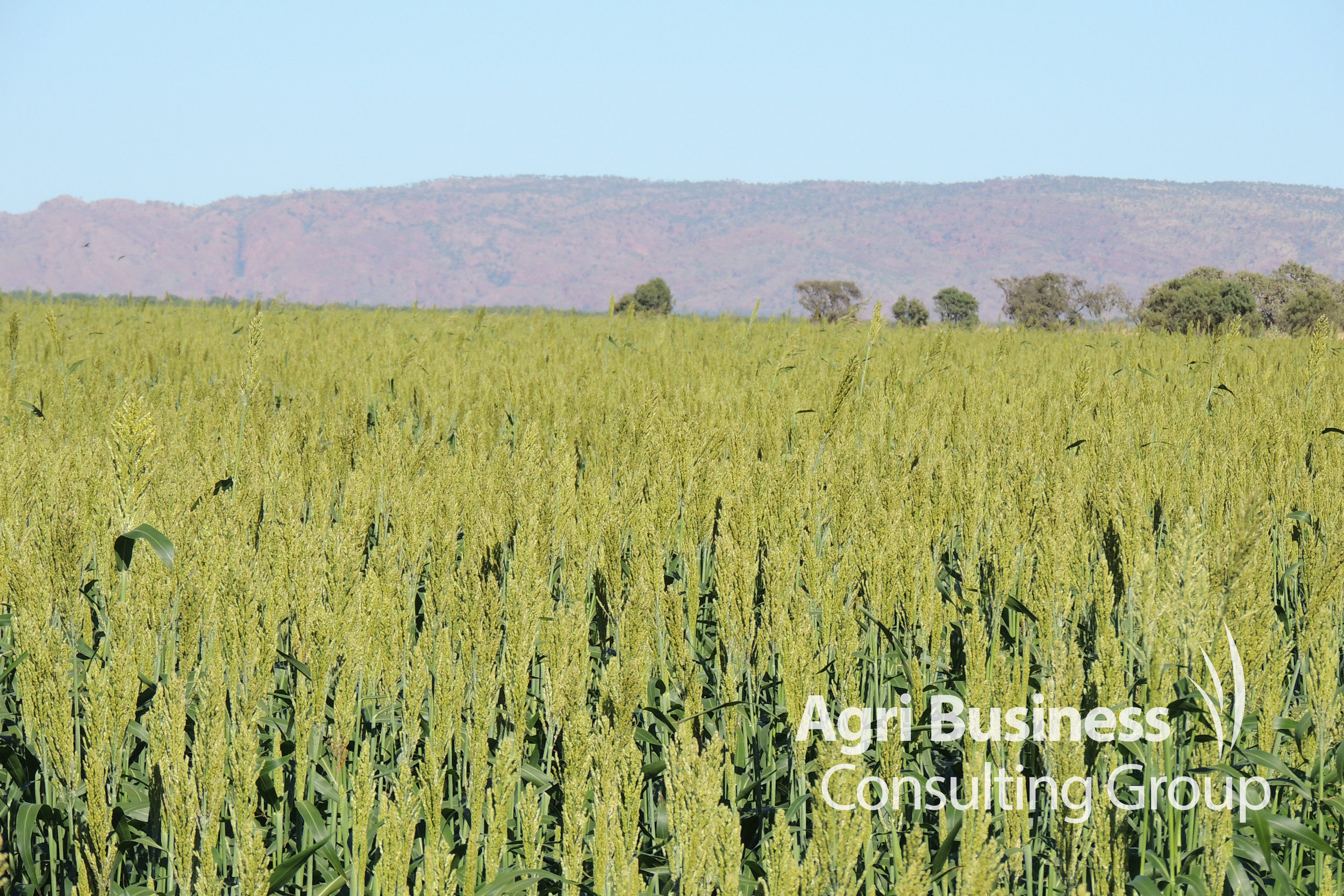 Sorghum crop grown under irrigation within the Ord River Scheme - Kununurra, WA
