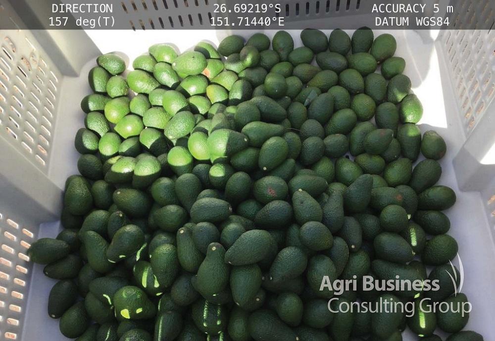 Hail struck Avocado crop