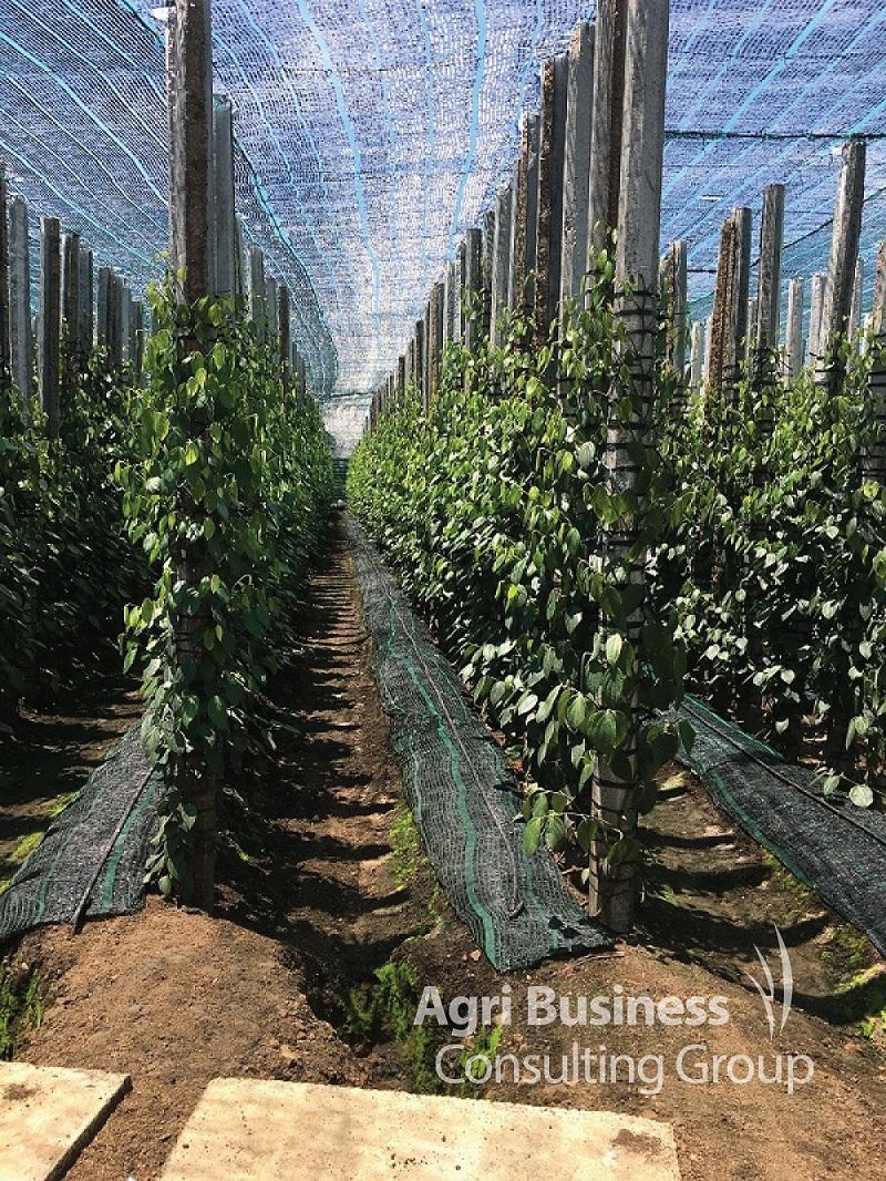 Peppercorn Plantation, Vietnam