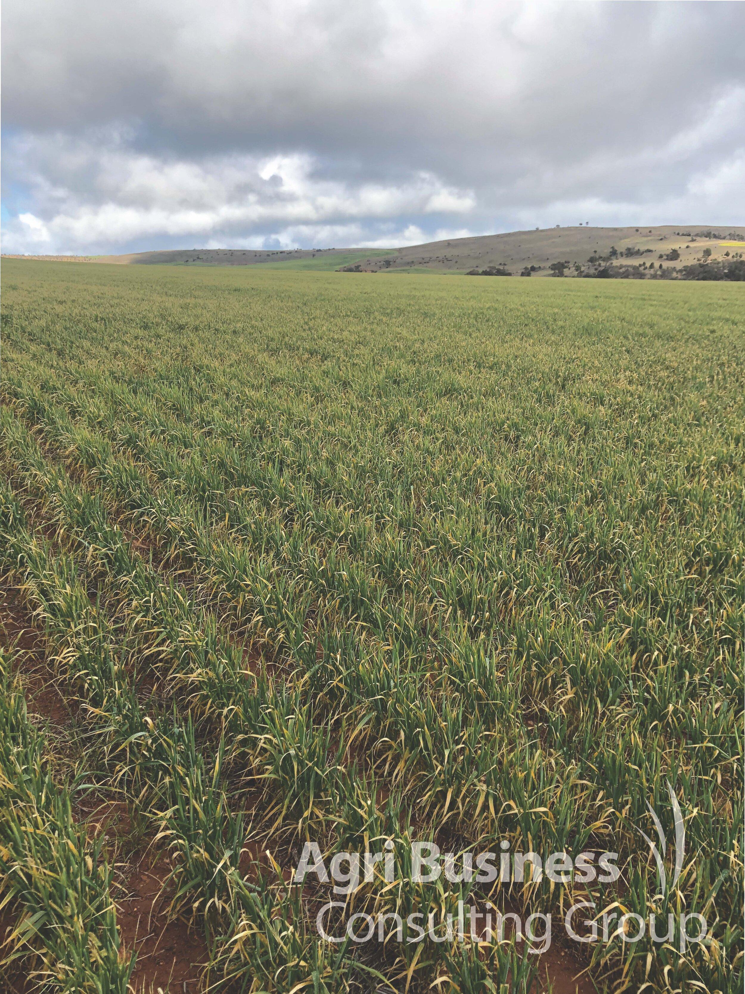 Frost affected Barley crop, October 2019
