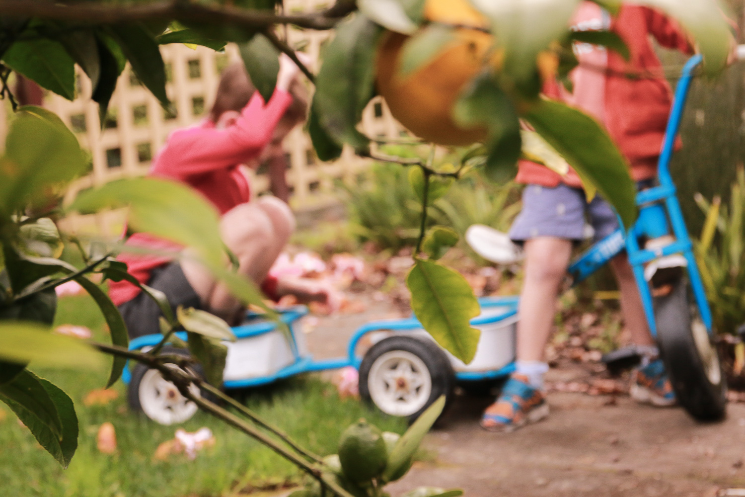 lemon-tree-in-focus-boys-playing-on-trike-in-background-out-of-focus.jpg