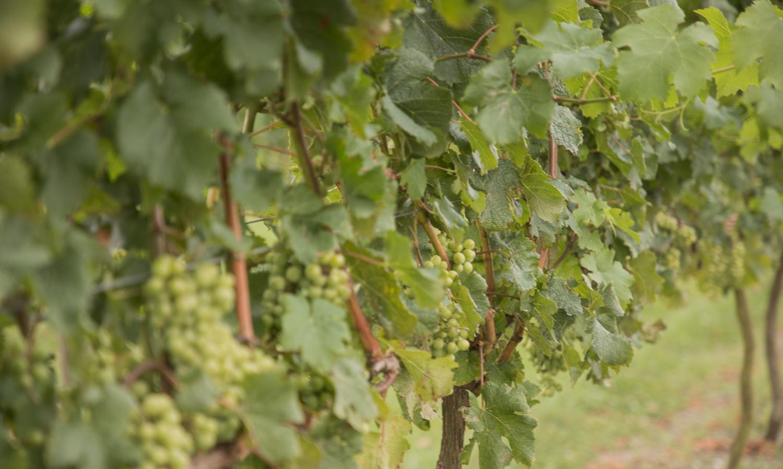 vines at vilagrad winery