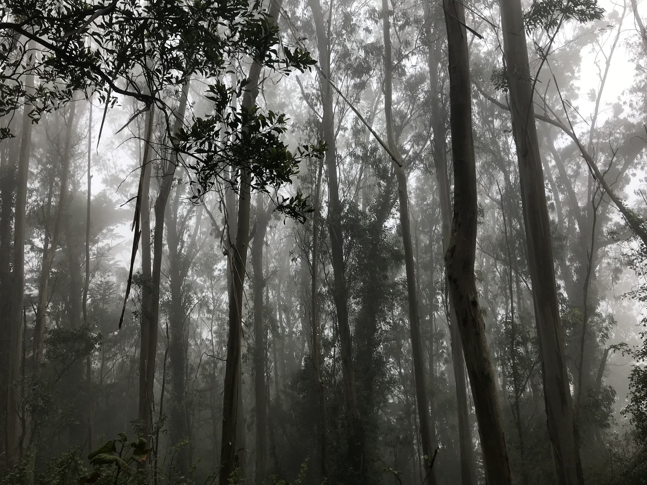 Trees through the fog at Mount Sutro today.