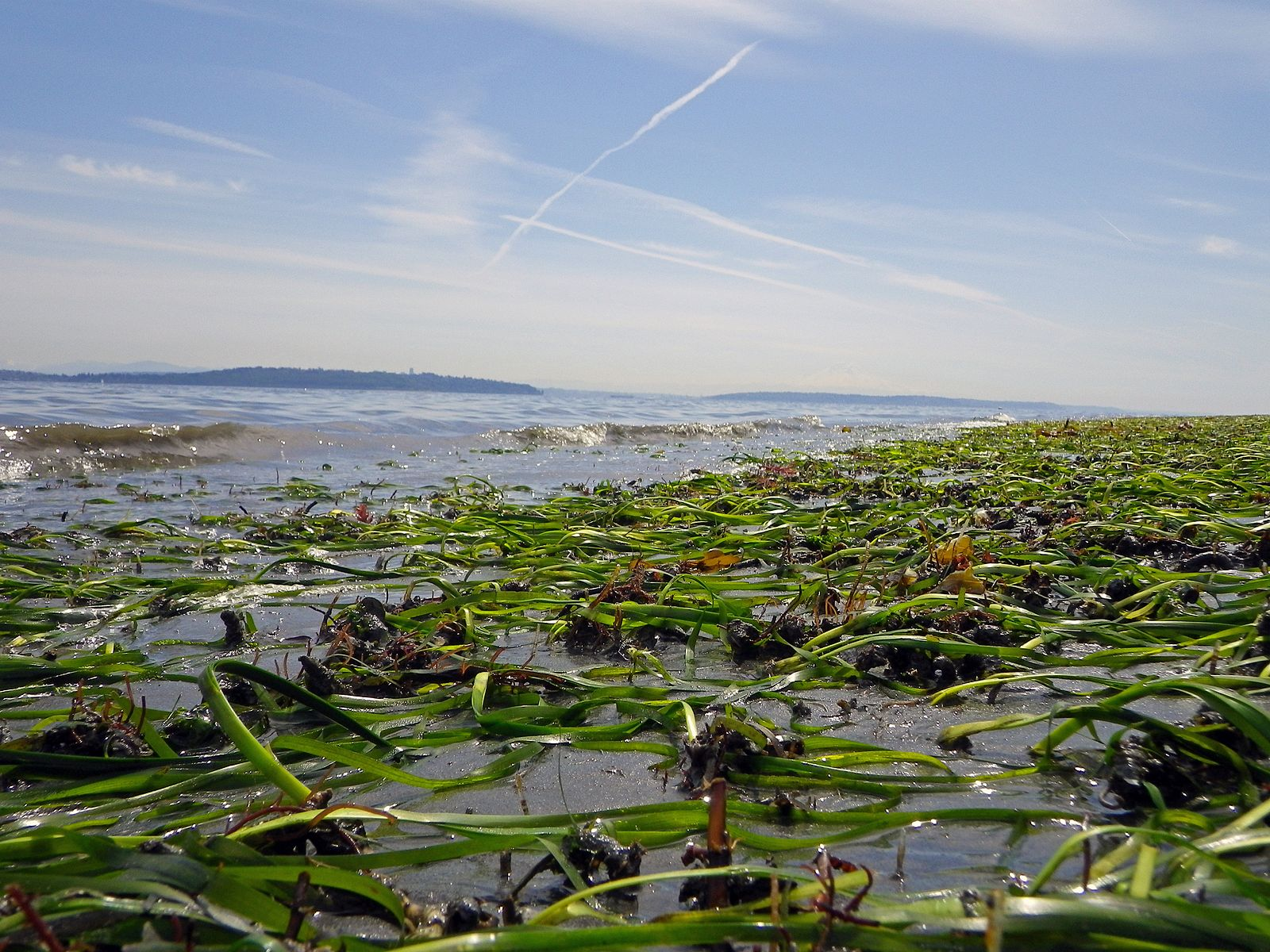 Bainbridge_island_eelgrass_bed.jpg