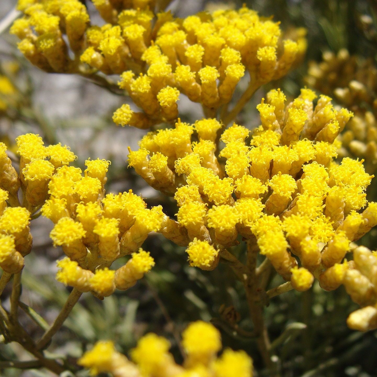 Biodynamic Helichrysum Hydrolat   Helichrysum is a natural, emollient and protective active ingredient that helps hair stay hydrated and retain nutrition during the waving treatment.