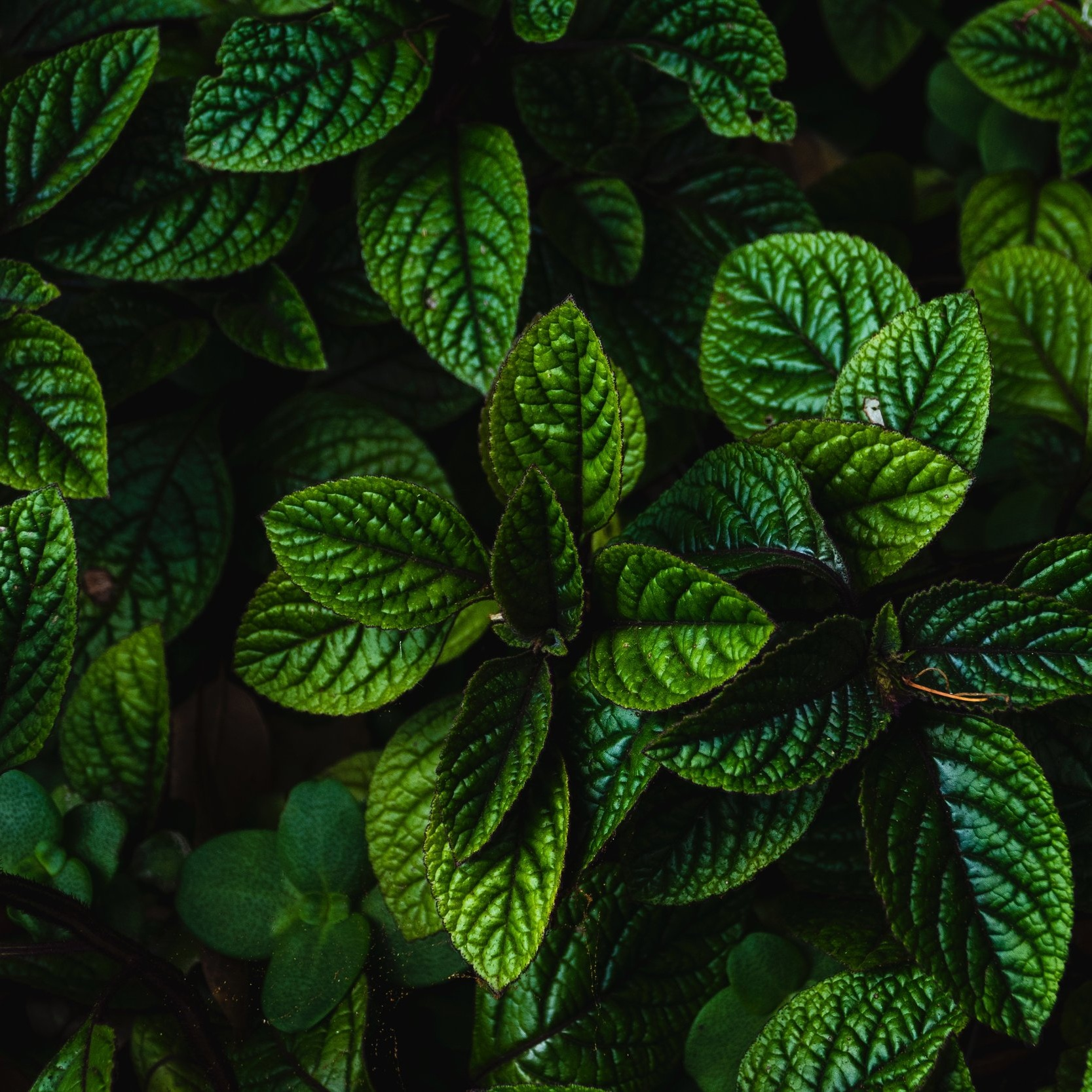 BIODYNAMIC MINT ESSENTIAL OIL   Performs a reactivating and refreshing action on the microcirculation, providing the scalp with immediate relief and a sensation of well-being.