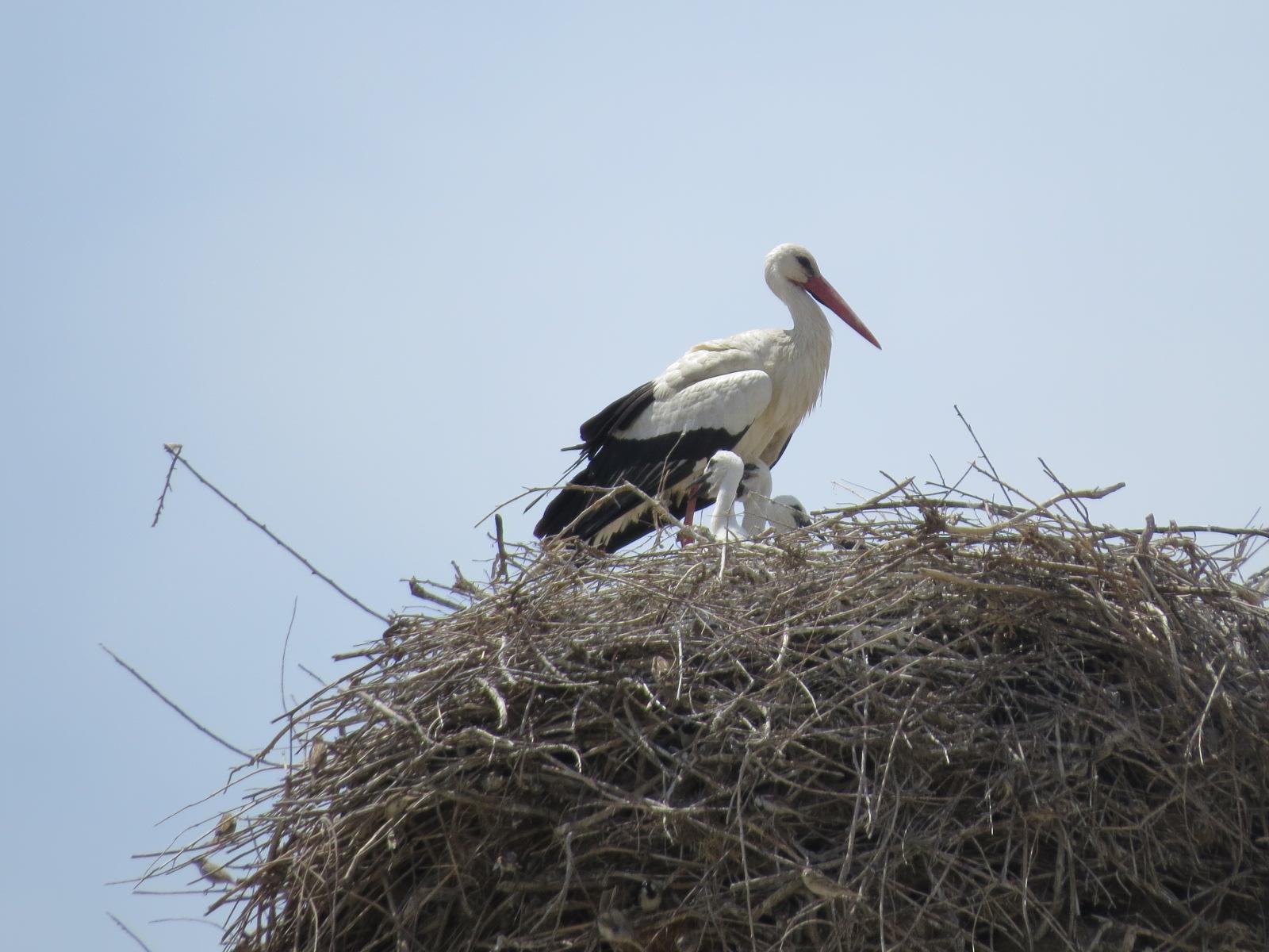 Real storks!