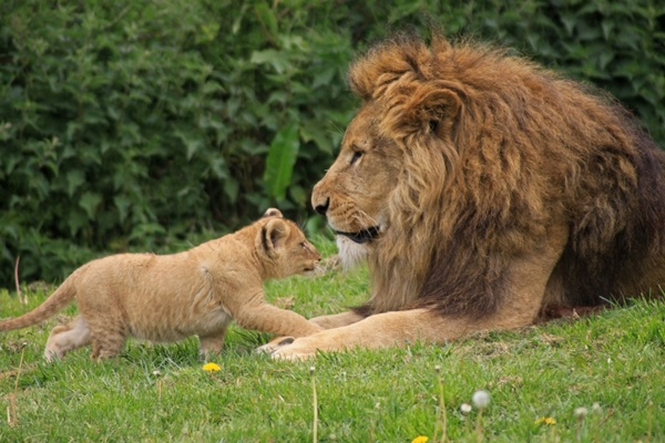 longleat-lions.jpg