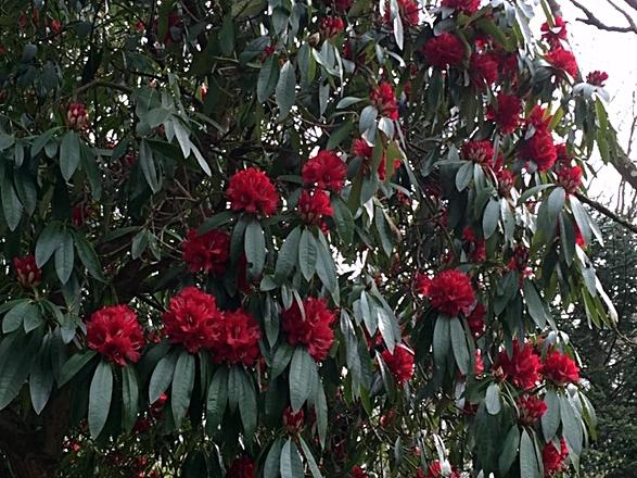 Stourhead Rhodo red.JPG