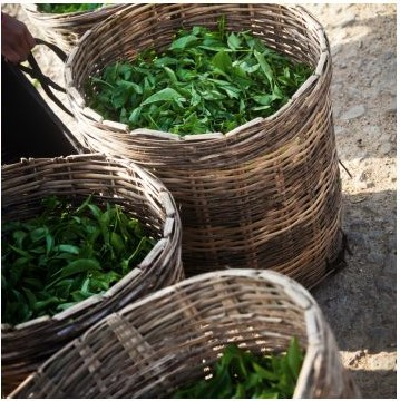 Plucked tea leaves in baskets