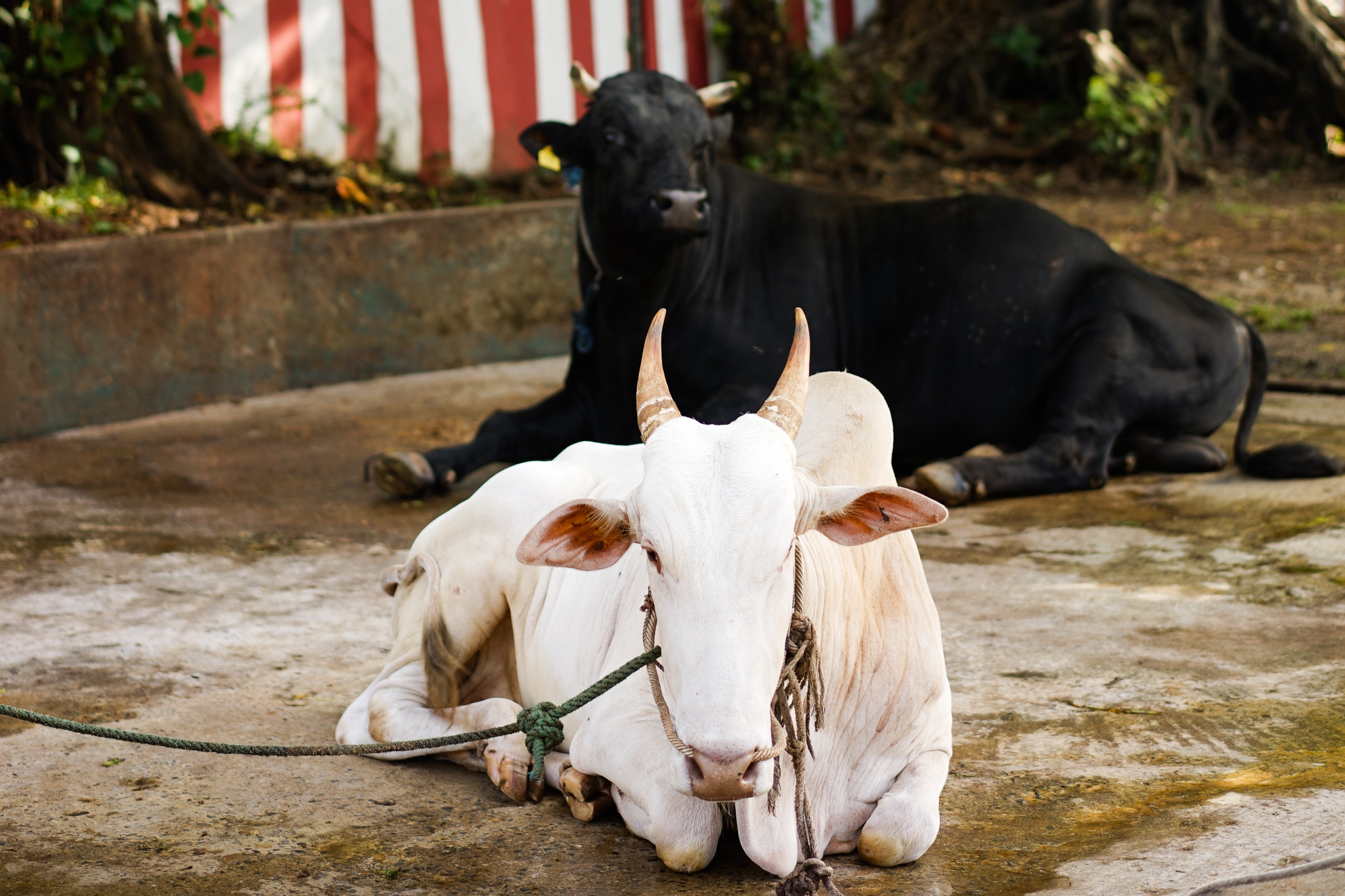 Lord Shiva's vehicle is the sacred cow and is kept on the premises