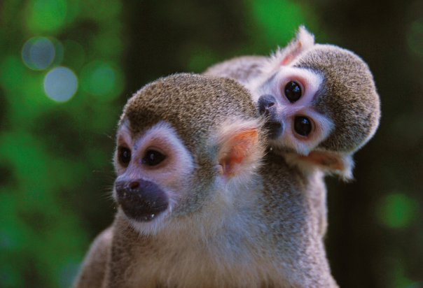 Squirrel monkeys .jpg