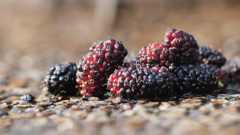 mullberry.jpg