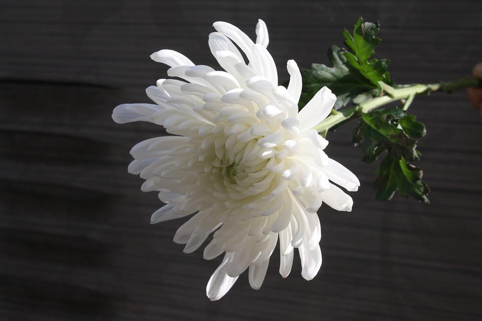 Grief chrysanthemum-.jpg