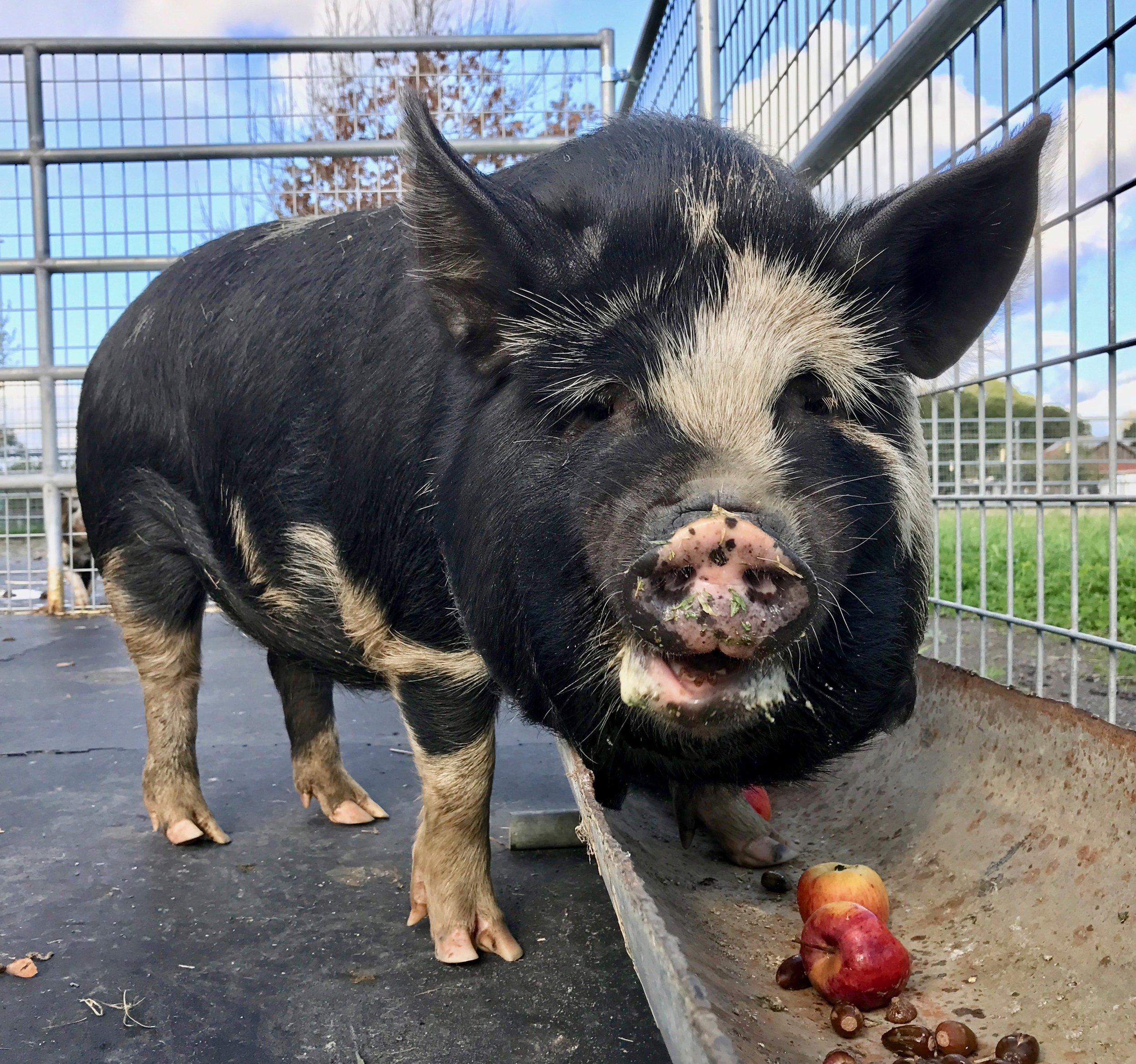 Mr Bolognese enjoys an apple.