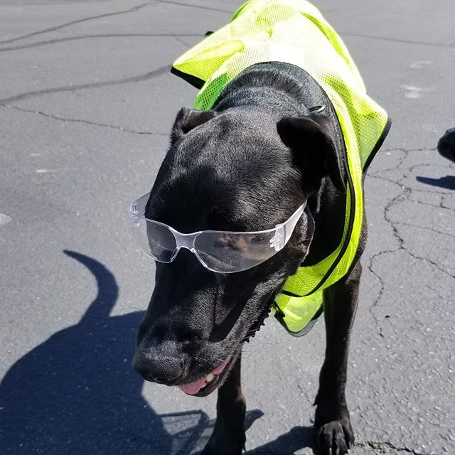 Oak's manning the goodest boy department and doing a fantastic job! (We tried him in accounting but our invoices are now being paid in pup treats)  #doglife #laberdane #dogsdoingconstruction #dogsdoingthings #dogsofinstagram #construction #constructionlife #GoBallistic #BallisticConcreteCoatings