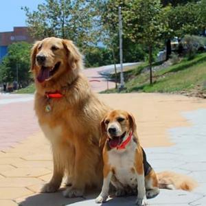 Sunny Golden Retriever & Demi Beagle