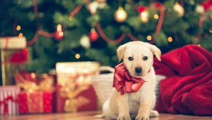 ¿Por quéno hay que regalar mascotas en navidad? - Por que no es un juguete ¡Es un ser vivo con necesidades emocionales y físicas!