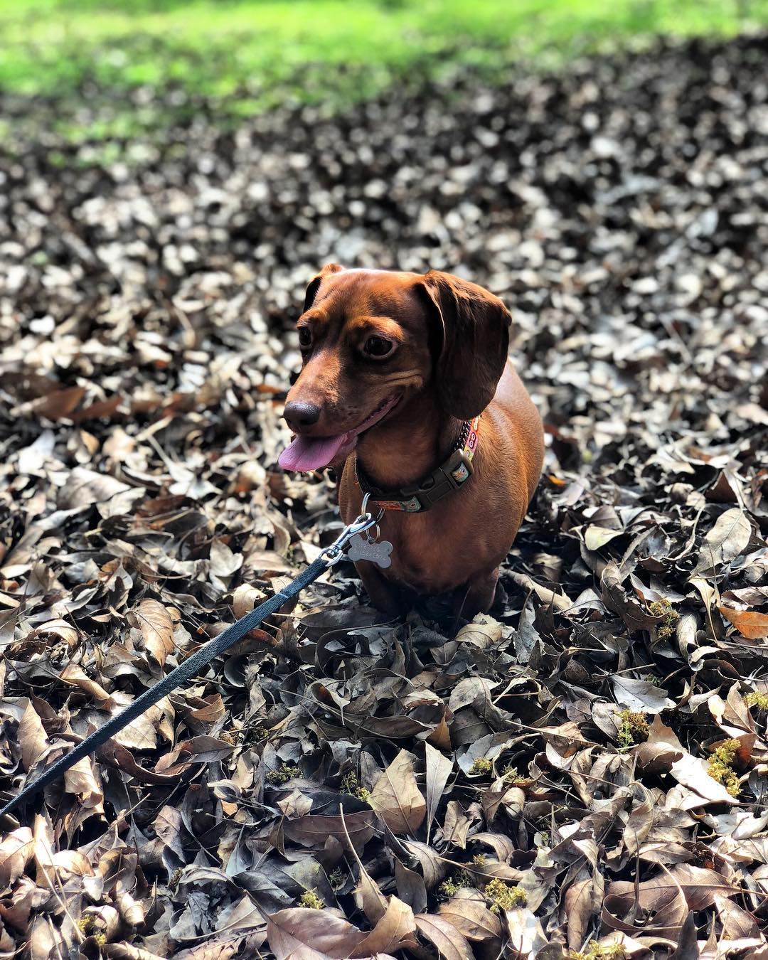 Mila the Dachshund