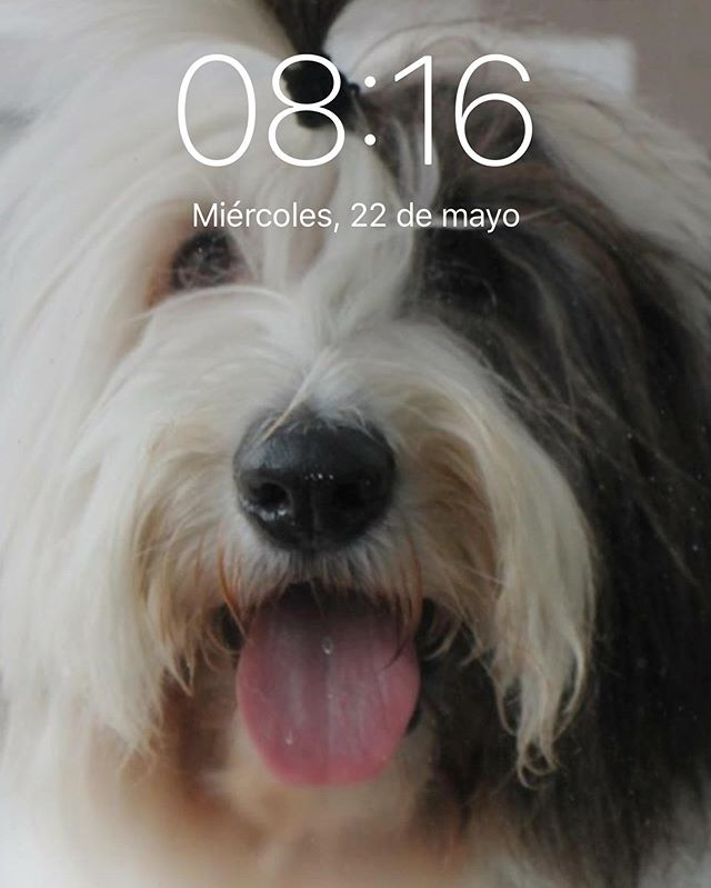 #VickyTheSheepdog es el mejor protector de pantalla del celular 📱 ❤️ y tú tienes a tu 🐶 o 🐈 en la pantalla de inicio?  @therollingdogs.mty @dapawclub  #Oldenglishsheepdog #PerrosReporteros #MéxicoPetFriendly #Perrosdemexico #dogsofinstagram