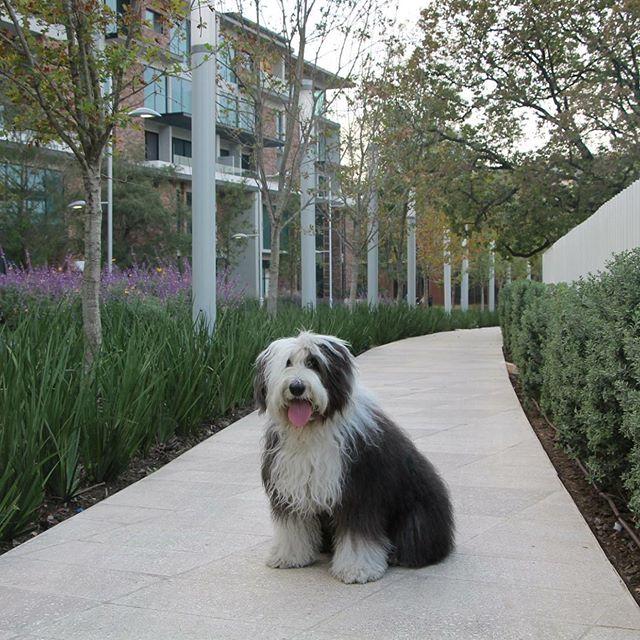 #VickyTheSheepdog viendo casas en una colonia #PetFriendly llamada @arboledamx 😍 tiene parque para perros y áreas comunes en donde pasear diario. Cuando busques tu nueva casa o depa evalúa los parques cercanos, si puedes llegar caminando de forma segura, si las reglas son amigables para todos los tamaños de perros y gatos, si tú cumples con recoger las 💩 y usar la correa siempre podremos incentivar la creación de más espacios amigables con las mascotas. 🙏🏻 Sigue a nuestros amigos de @therollingdogs.mty @dapawclub @laperradaregia @lapawndillatapatia  #MéxicoPetFriendly #PerrosReporteros #Perros #Dog #oldenglishsheepdog #Parklifw #Perrosdemexico #lavender @parquearboledamx #SPGG