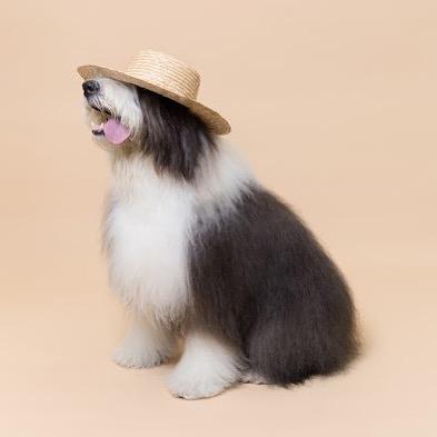 #VickyTheSheepdog modelando para @lolyintheskyofficial 😃 más tarde vamos a salir a pasear y a jugar con el juguete favorito de Vicky, el frisbee! Cual es el juguete favorito de tu 🐶 o 🐱 ?#oldenglishsheepdog #Méxicopetfriendly #PerrosReporteros #Perros #Dogs #dogsofinstagram #dogfluencer #influencer