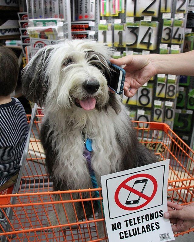 Buenoooo! Habla #VickyTheSheepdog, si me manda unos huesitos de @mutt.mx por favor, aqui los espero, gracias joven le tengo que colgar por que me están regañando que no celulares aquí.  #MéxicoPetFriendly #PerrosReporteros #Perros #oldenglishsheepdog #TheHomeDepot #DogsOfInstagram #petfriendlyplaces