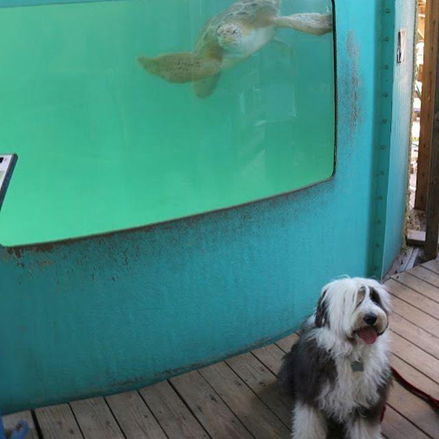 Cuando #VickyTheSheepdog visito @seaturtleinctx descubrimos la importancia de respetar a las tortugas marinas, cuando ellas ponen sus huevos no hay que molestarlas ni tomarte selfies con ellas por que se pueden asustar y regresar al mar sin haber terminado de poner sus huevos.  Asistir a eventos de hoteles y tours de liberación de tortugas no es algo que las ayude, al contrario, se pueden lastimar cuando las tocas, sabías que en cuanto ellas nacen se tienen que ir al mar de inmediato? Tienen poca energía y necesitan alimentarse para nadar y encontrar las corrientes marítimas (como las que viste en #FindingNemo )  En este lugar puedes entrar con perro con correa, está en @visitsouthpadreisland y puedes dejar desde 1 dólar de donativo para ayudar a la rehabilitación de tortugas mientras se regresan a su hábitat!  #MéxicoPetFriendly #PerrosDeMéxico #SPI #SouthPadreIsland #SPI #Turismo #Turtle #petfriendly #veranoperruno2019 #oldenglishsheepdog #dogsofinstagram  Sigue a nuestros cuates de @therollingdogs.mty @dapawclub @lapawndillatapatia